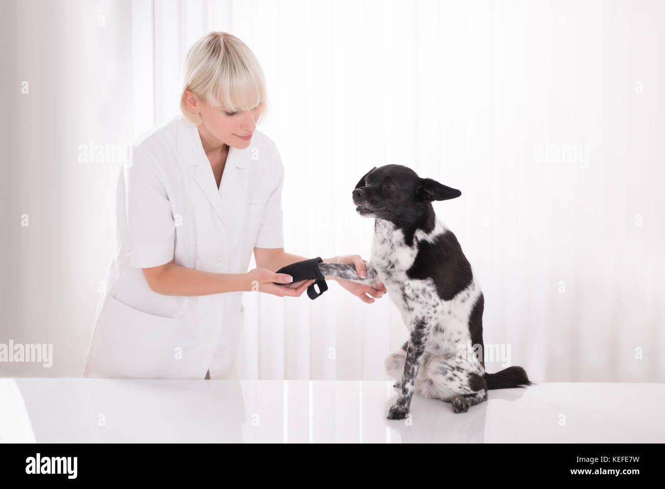 Young Female Vet Putting Bandage On Dog's Paw In Clinic - Stock Image