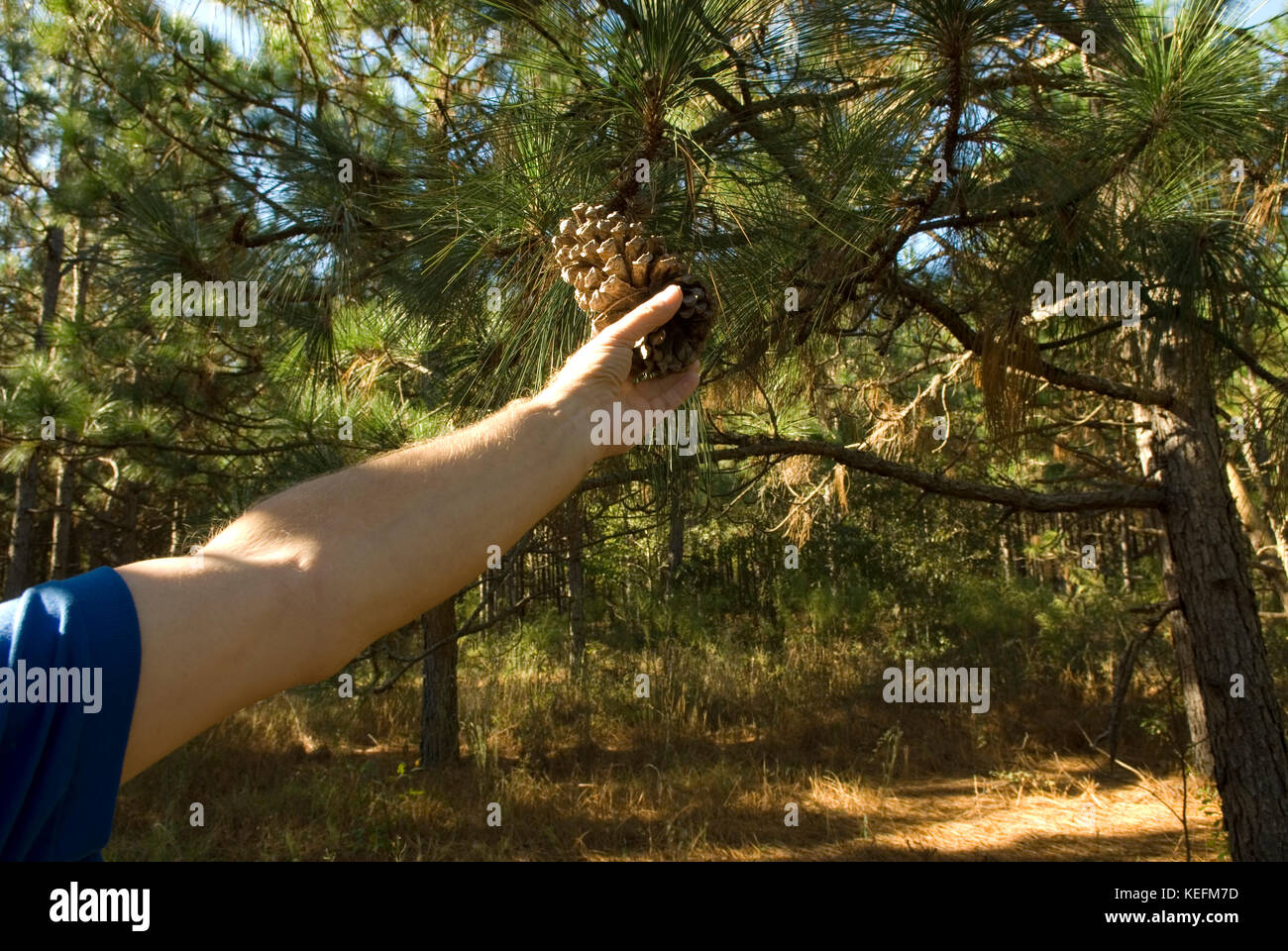 Caucasian man holding pine cone, Bethune, South Carolina, USA. Long leaf pine trees are used for mulch in landscaping. - Stock Image