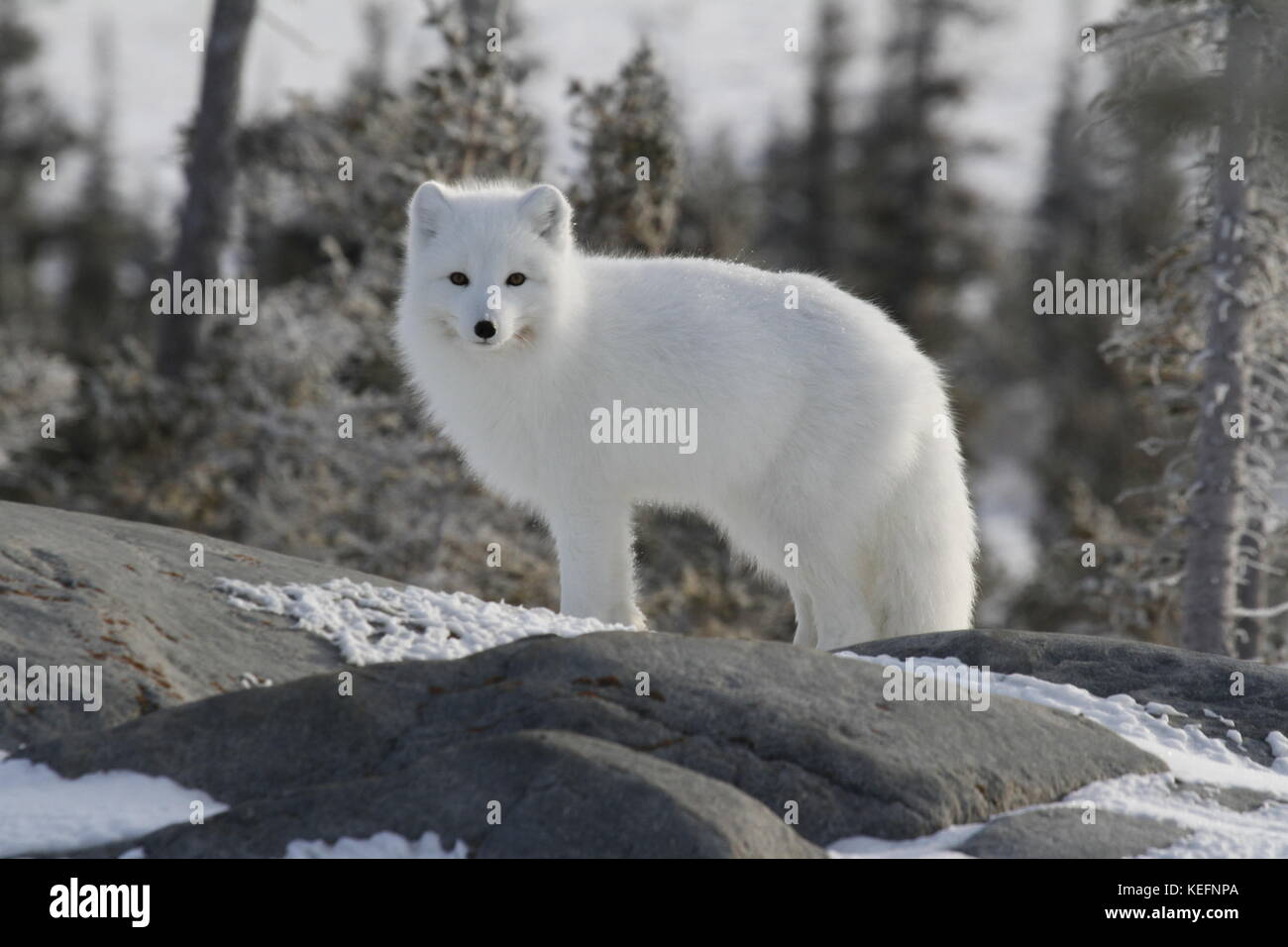Arctic fox (Vulpes Lagopus) in white winter coat staring off while standing on a large rock with trees in the background - Stock Image