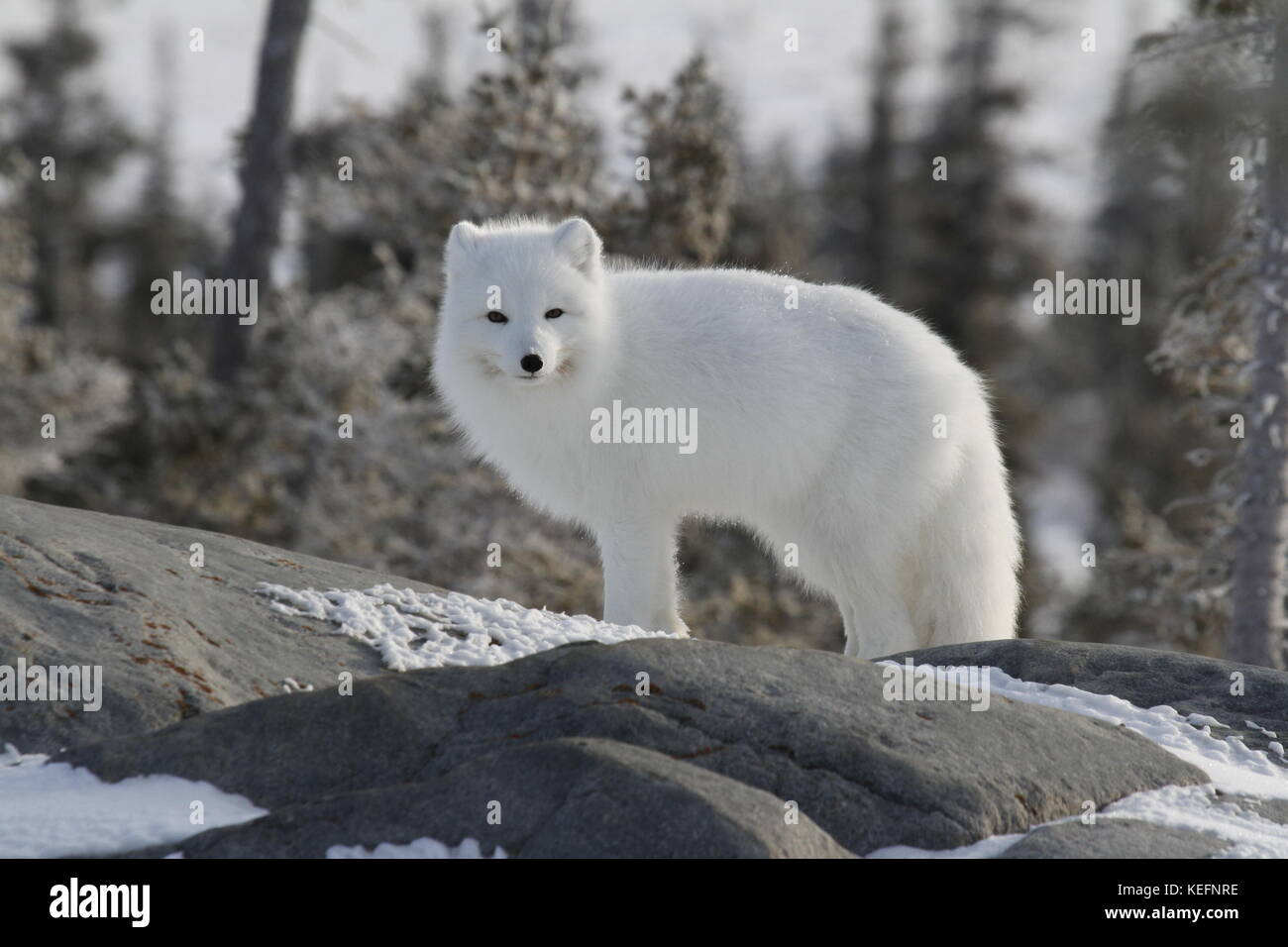 Arctic fox (Vulpes Lagopus) in white winter coat, squinting while standing on a large rock - Stock Image