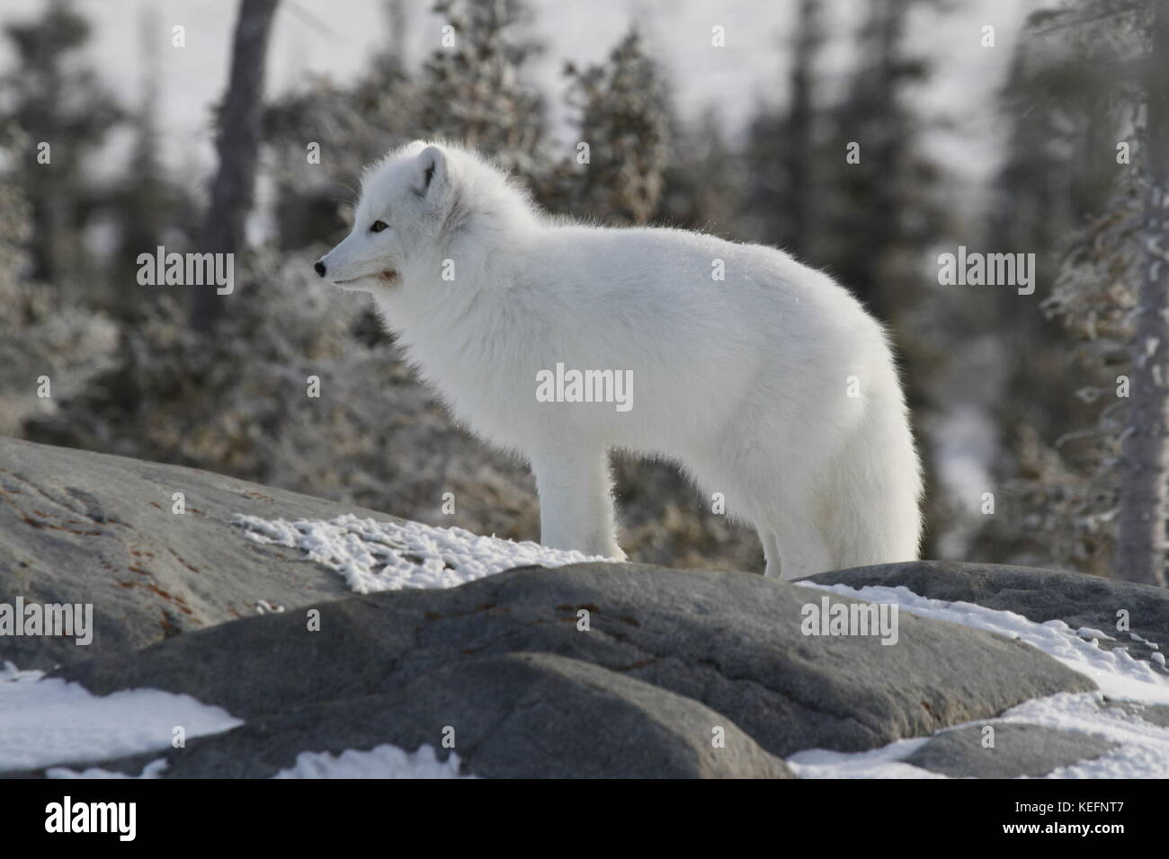 Arctic fox (Vulpes Lagopus) in white winter coat staring off while standing on a large rock - Stock Image