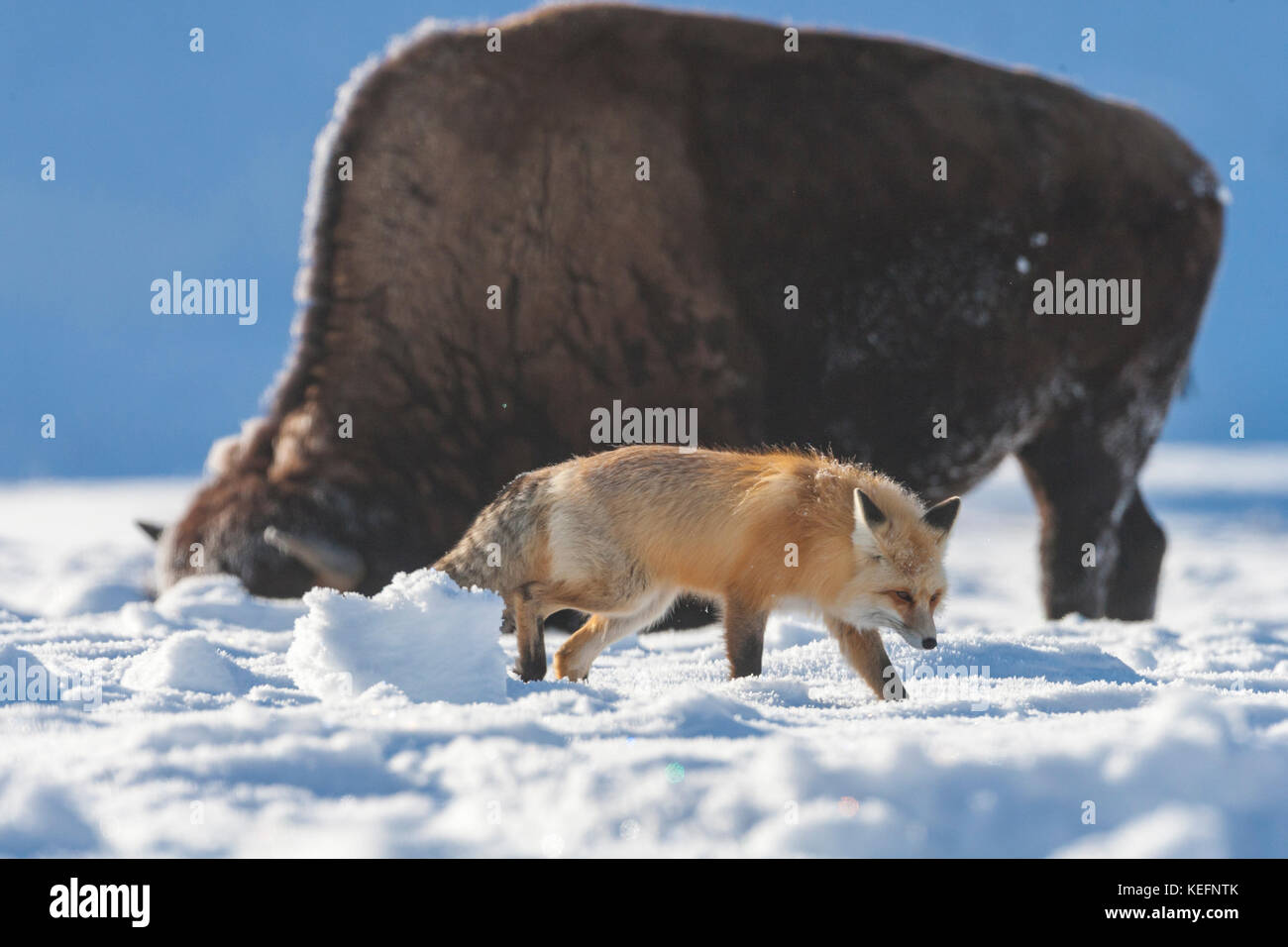 Red fox near bison during winter in Yellowstone National Park Stock Photo