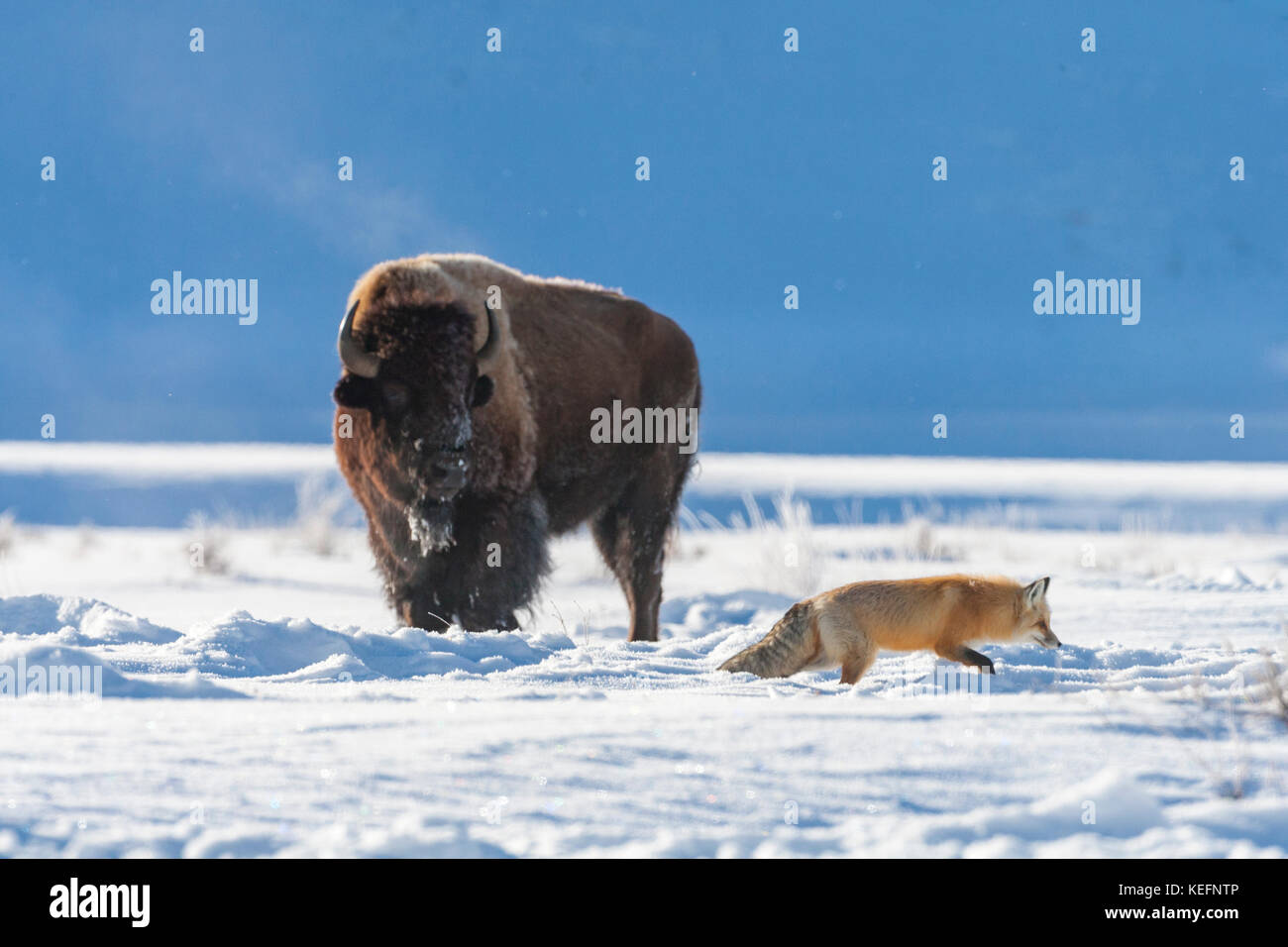 Red fox near bison during winter in Yellowstone National Park - Stock Image