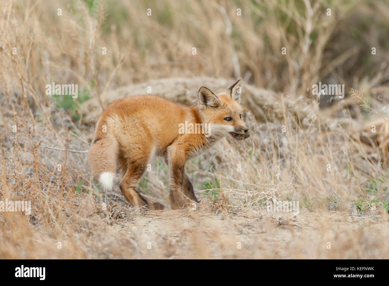 Red fox pup in Wyoming - Stock Image