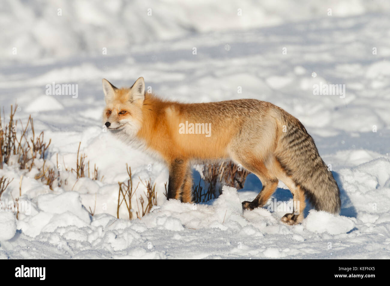 Red fox during winter with heavy fur protecting it from the bitter cold in Yellowstone National Park, Wyoming - Stock Image