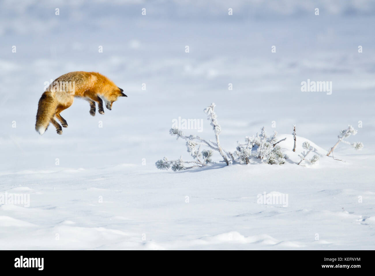 Red Fox pouncing during winter in Yellowstone National Park - Stock Image