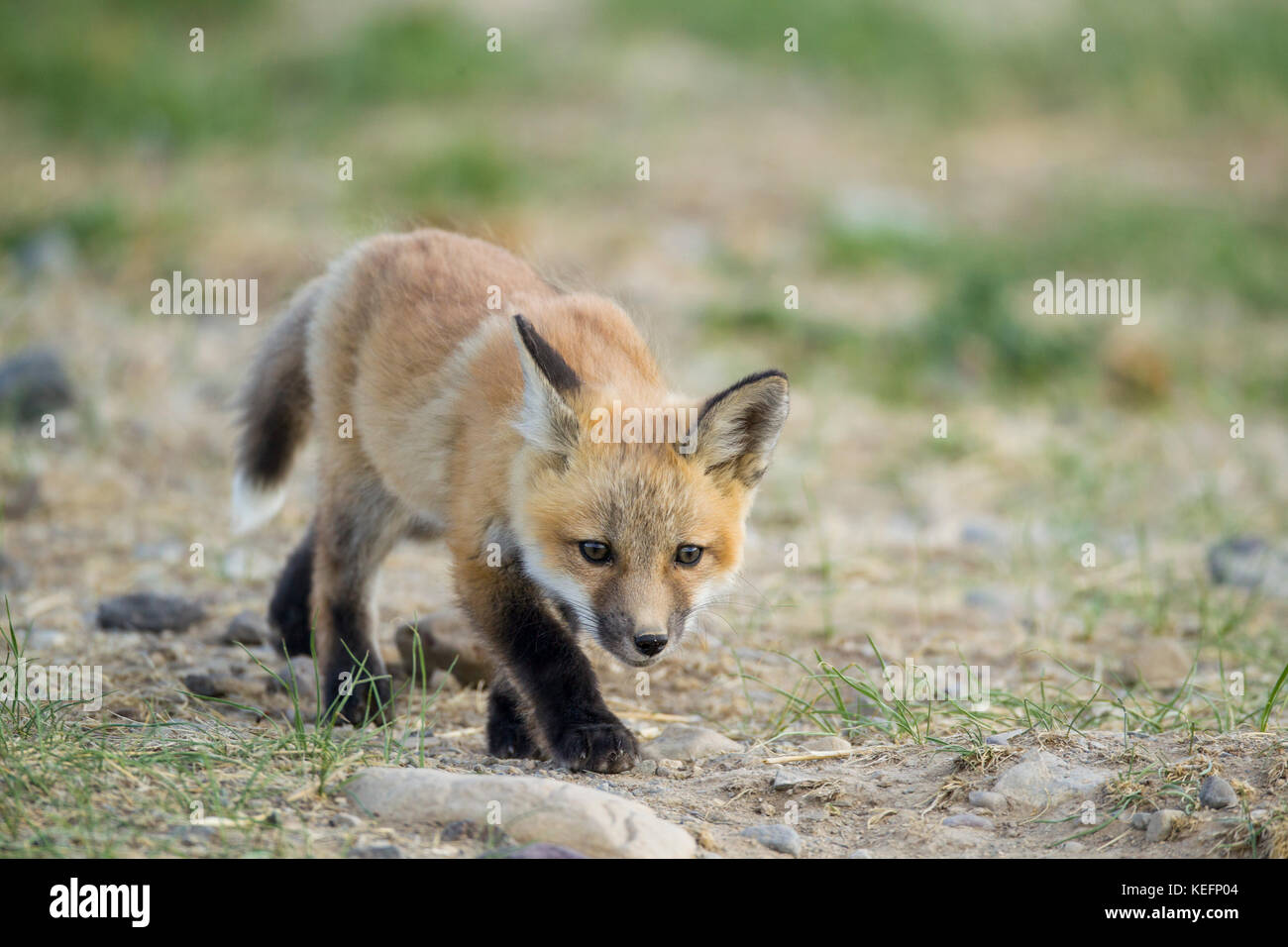 Red fox pup - Stock Image