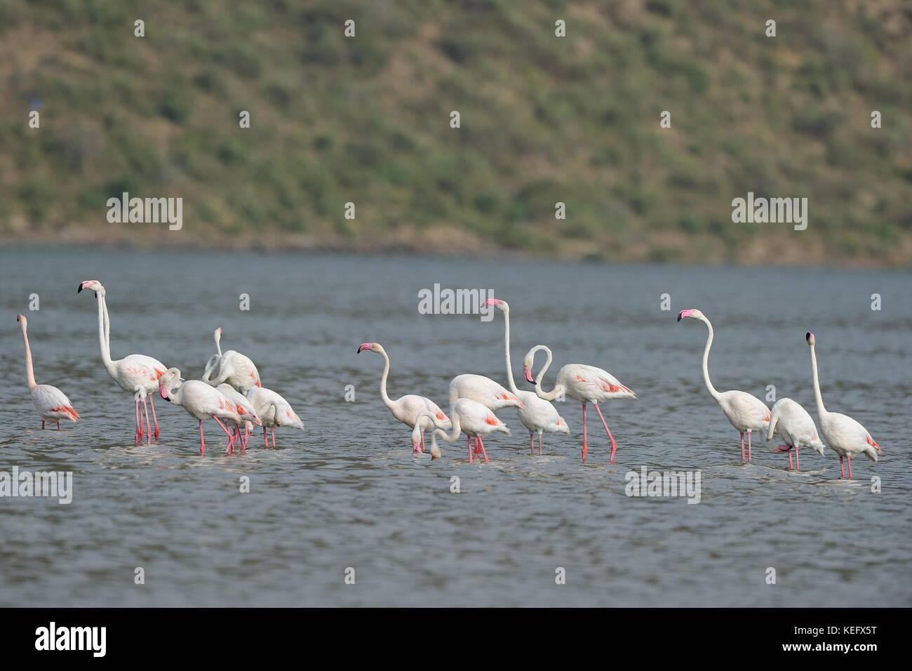 Greater Flamingo (Phoenicopterus roseus - Phoenicopterus ruber roseus) flock of birds standing in shallow water - Stock Image