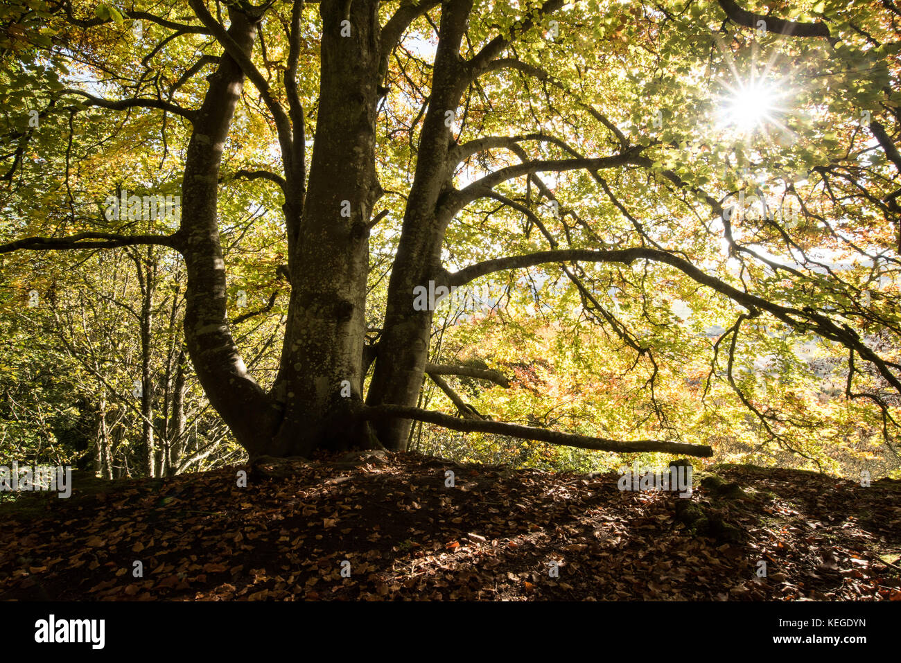 Autumnal beech tree with late afternoon sun, Scotland. - Stock Image