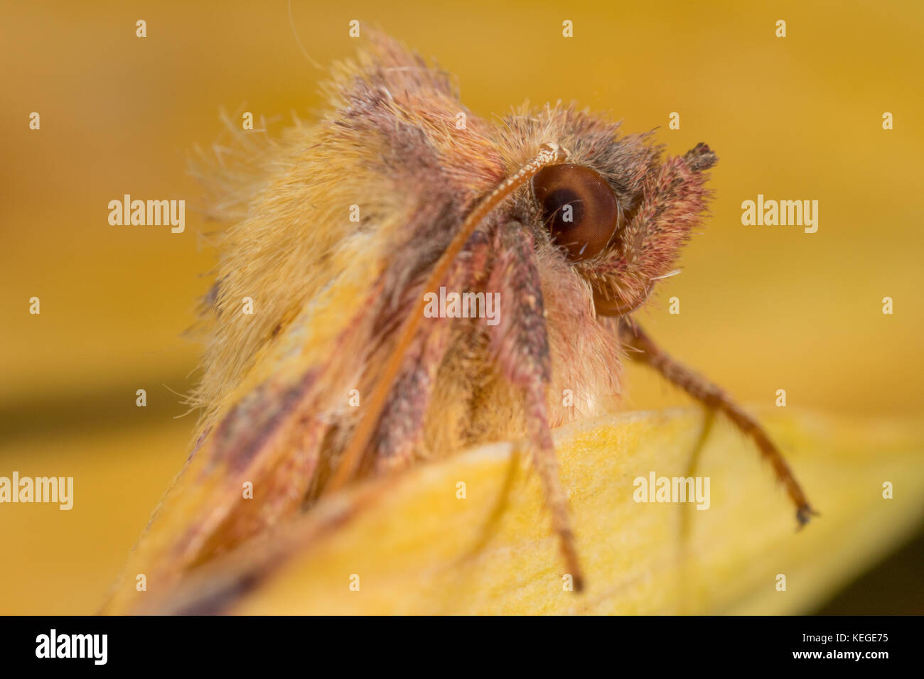 A rather goofy-looking pink-barred sallow - macro portrait of this British autumnal garden moth. - Stock Image