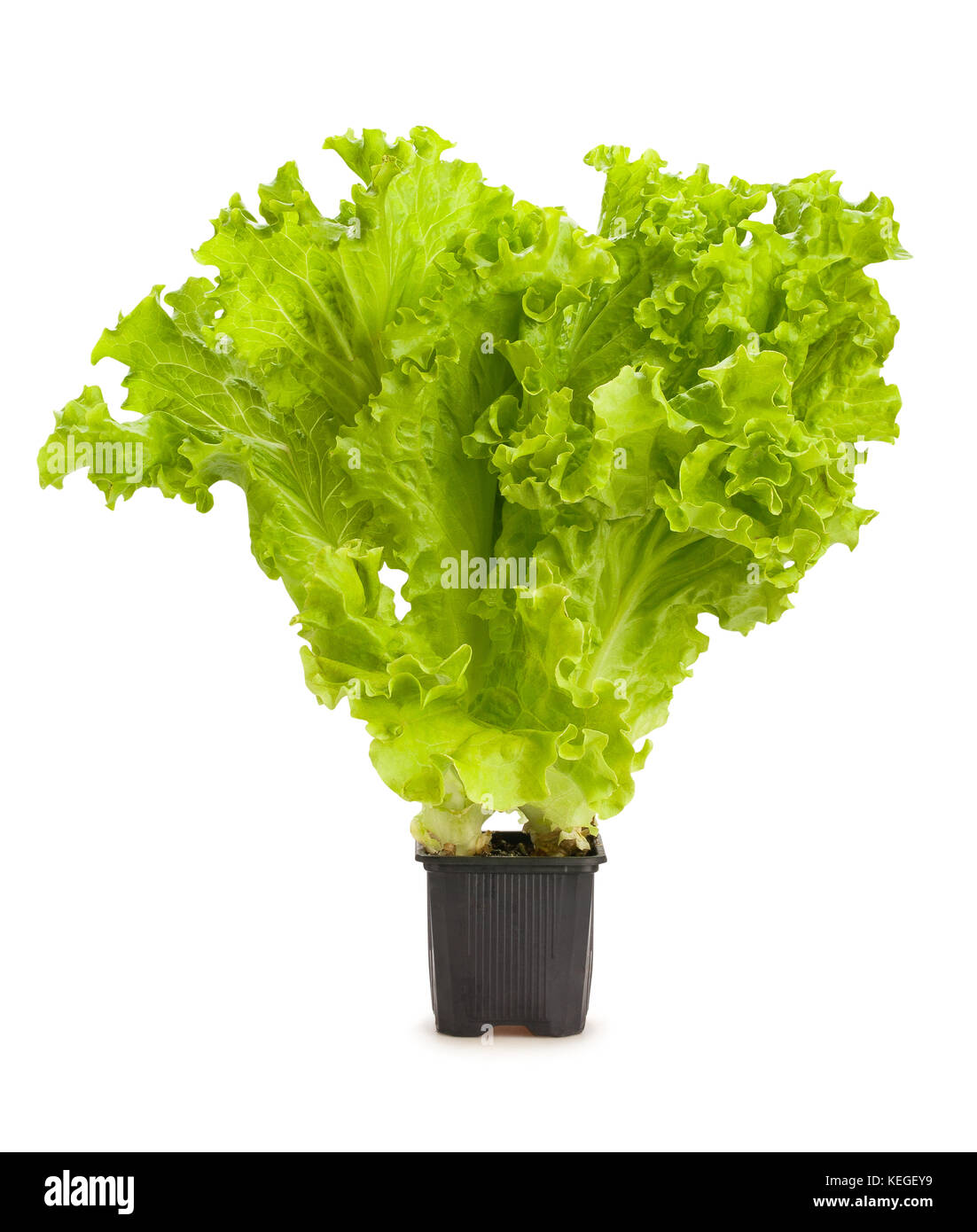 lettuce growing path isolated - Stock Image