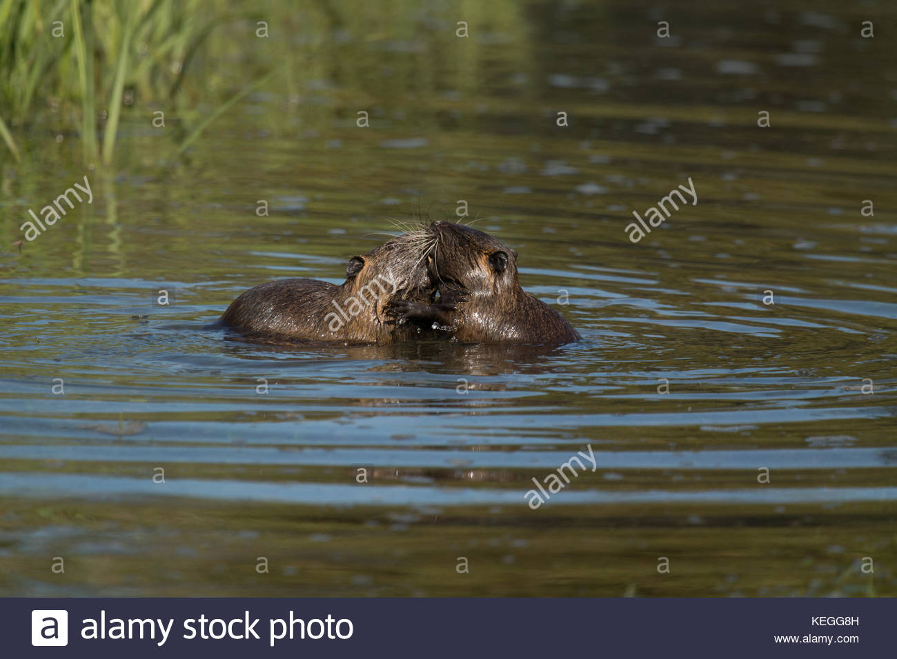 Two young coypus rodents (Myocastor coypus) playing and biting in the water. Nutria - Stock Image