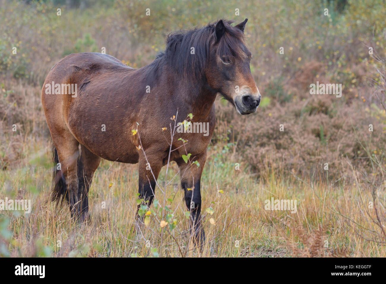 Exmoor Pony on Cleddon Bog, Monmouthshire, Wales, where it has been introduced to graze scrub for habitat restoration. - Stock Image