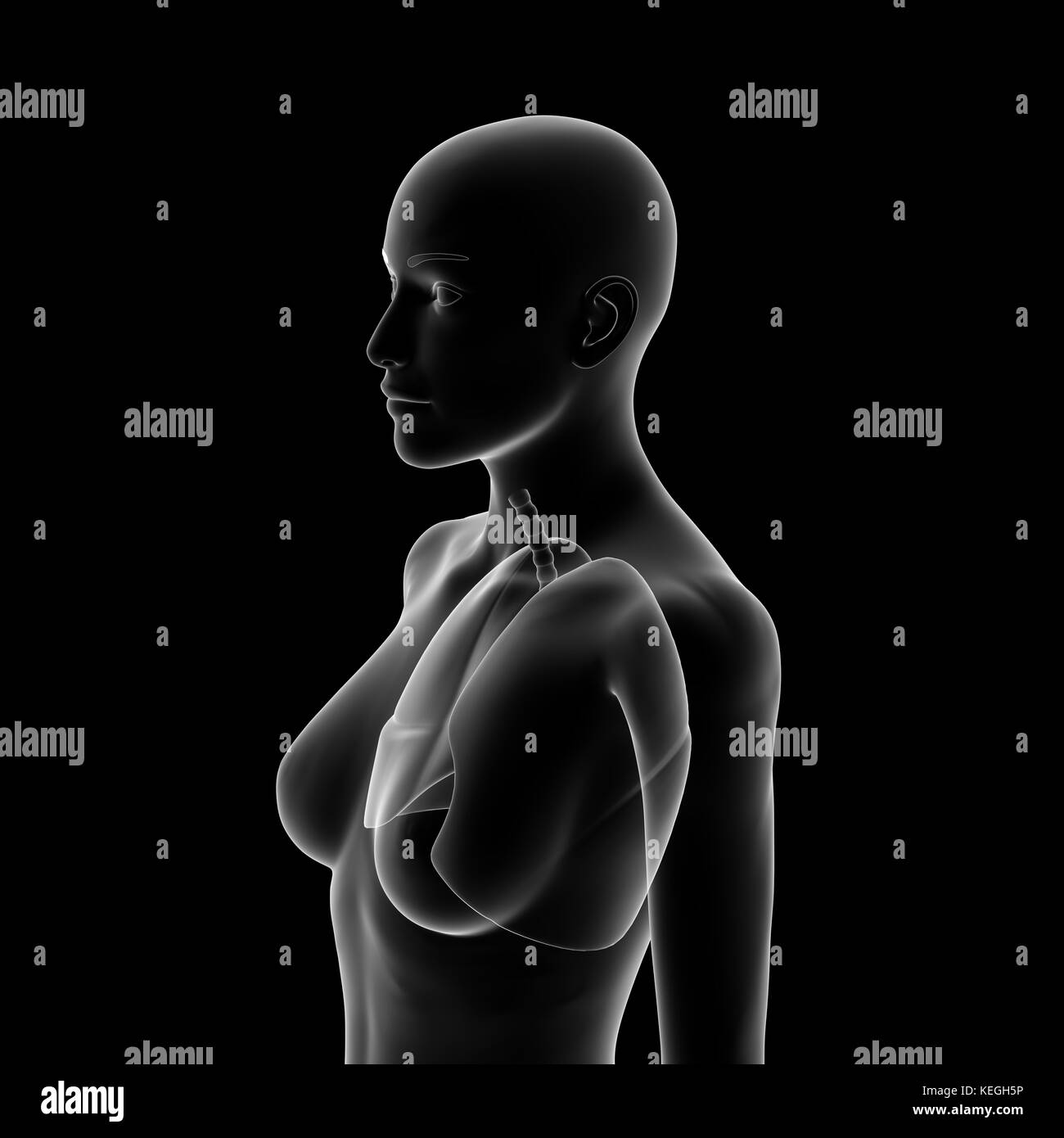 Lung, Human Female Body - Stock Image
