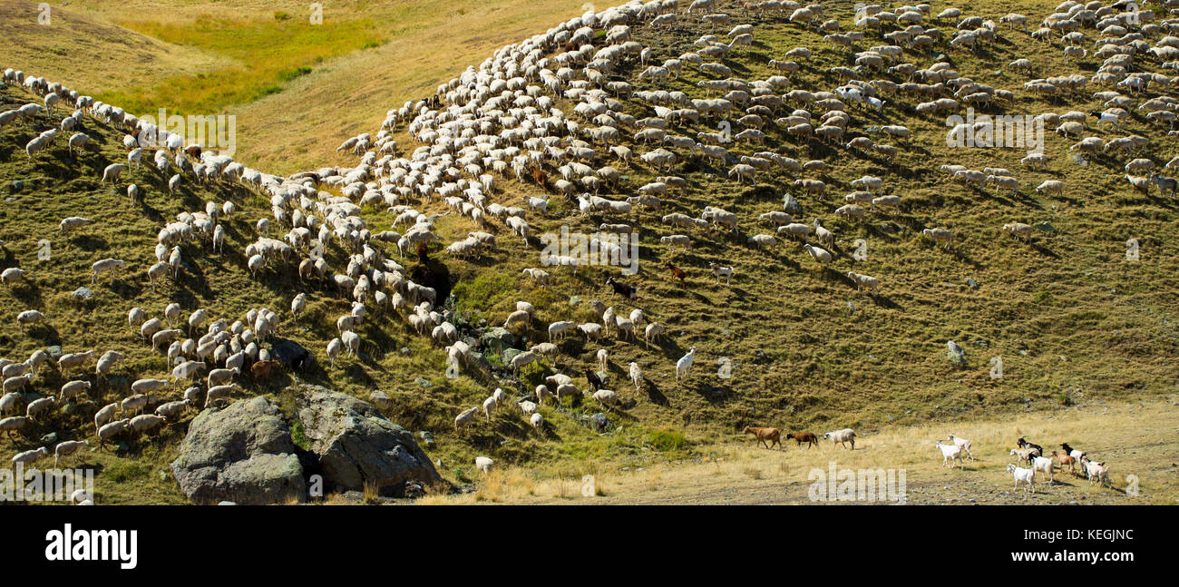 Mountain sheep and goats in Val de Tena at Formigal in Spanish Pyrenees mountains, Spain Stock Photo