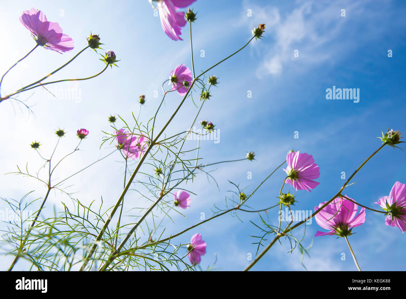 Autumn cosmos against a blue sky - Stock Image