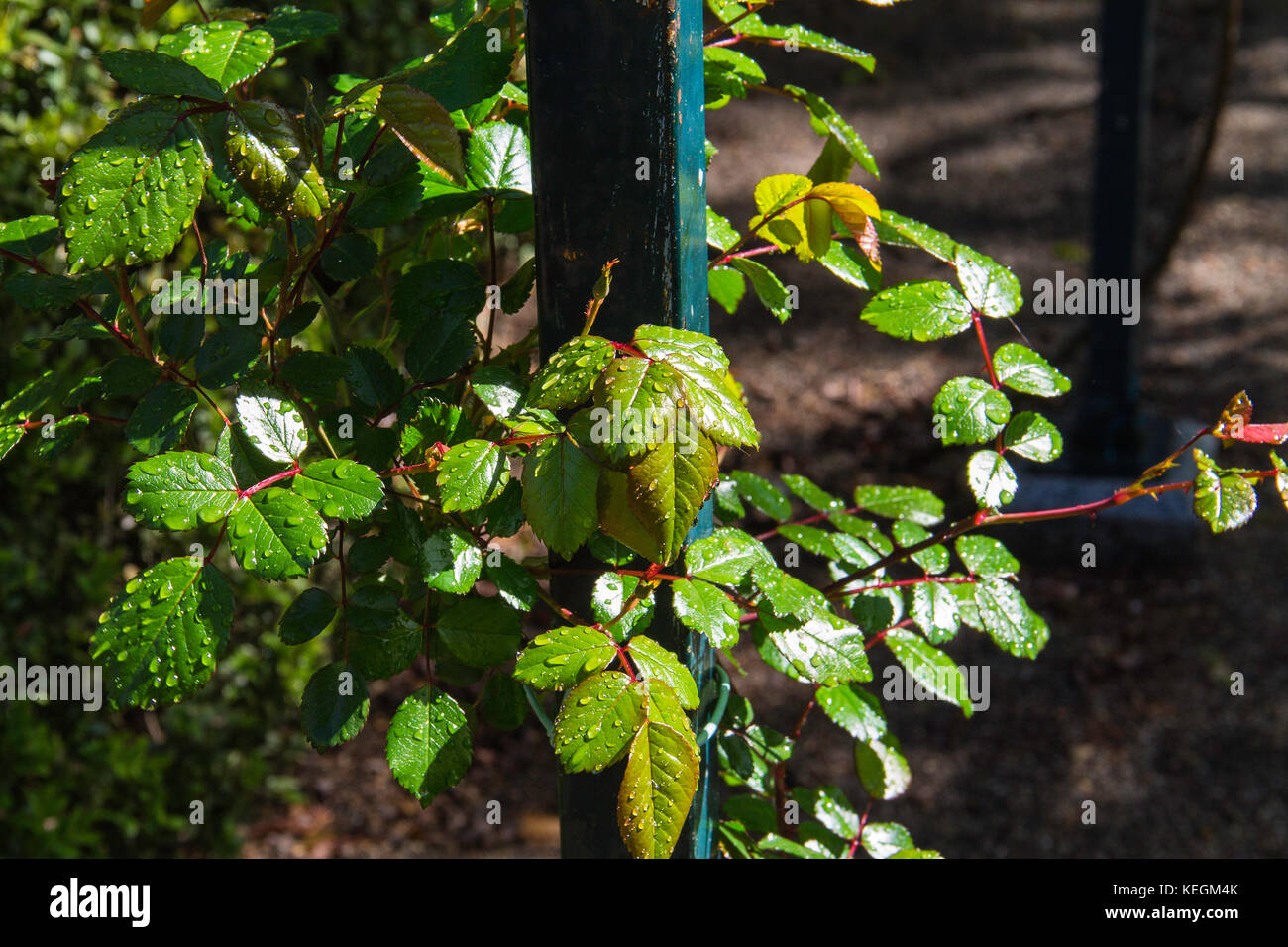 raindrops on the leaves of the rose-bush in spring - Stock Image