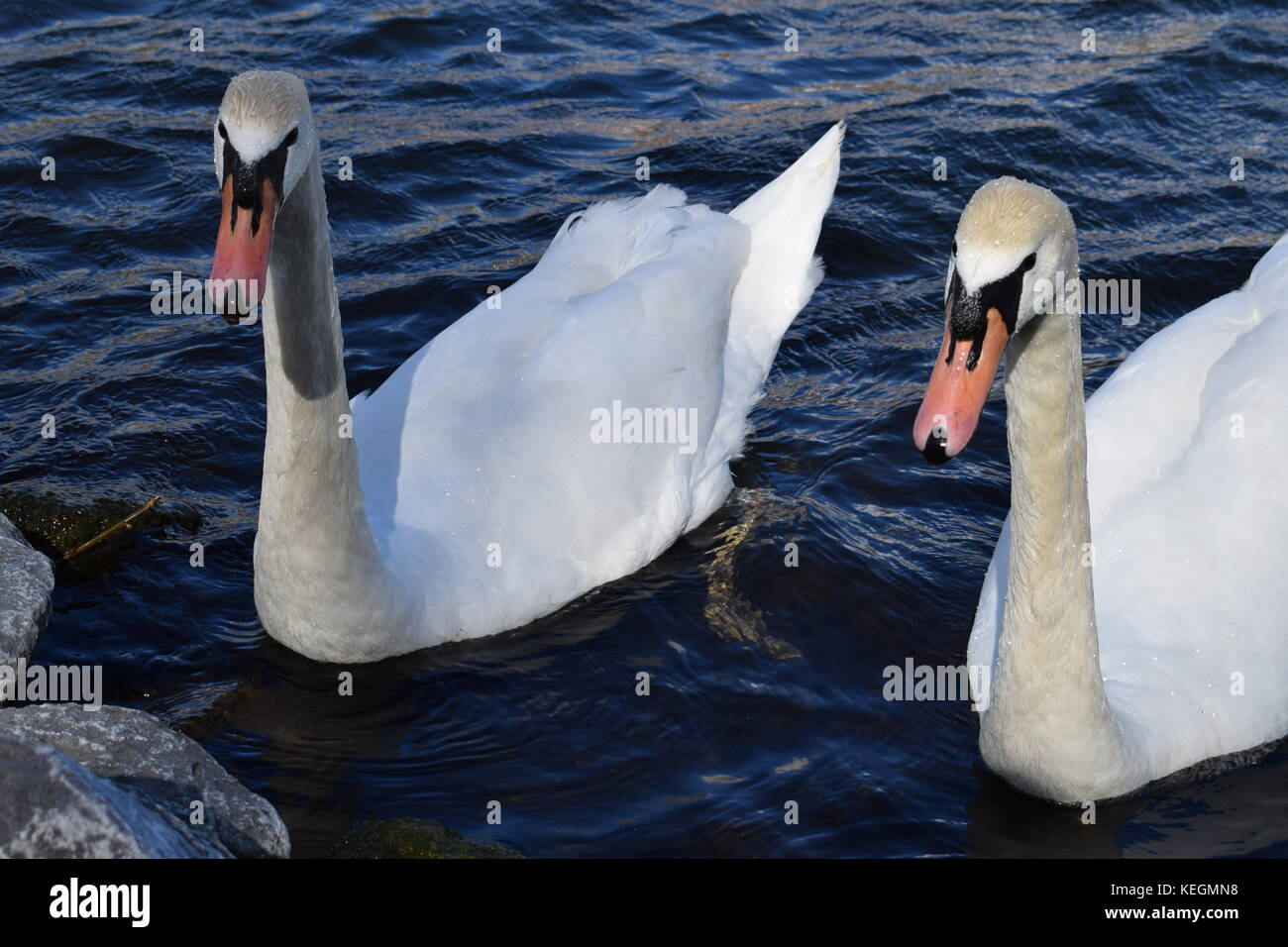 Two white swans in the Rotterdam canal in the Netherlands Stock Photo