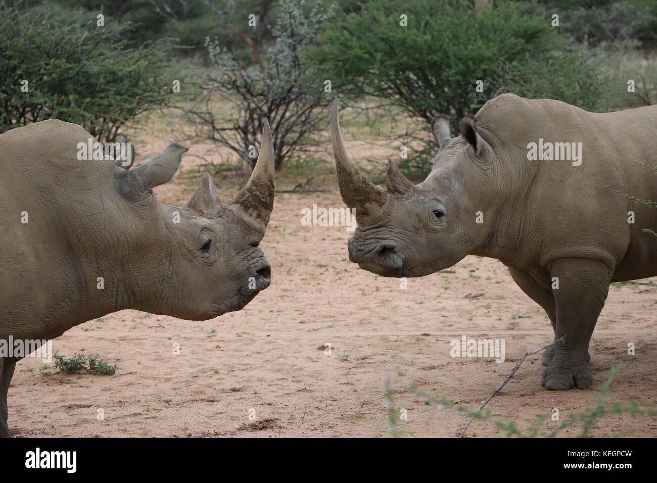 2 Breitmaulnashörner stehene sich gegenüber in Namibia - two rhinos stand opposite each other - Stock Image
