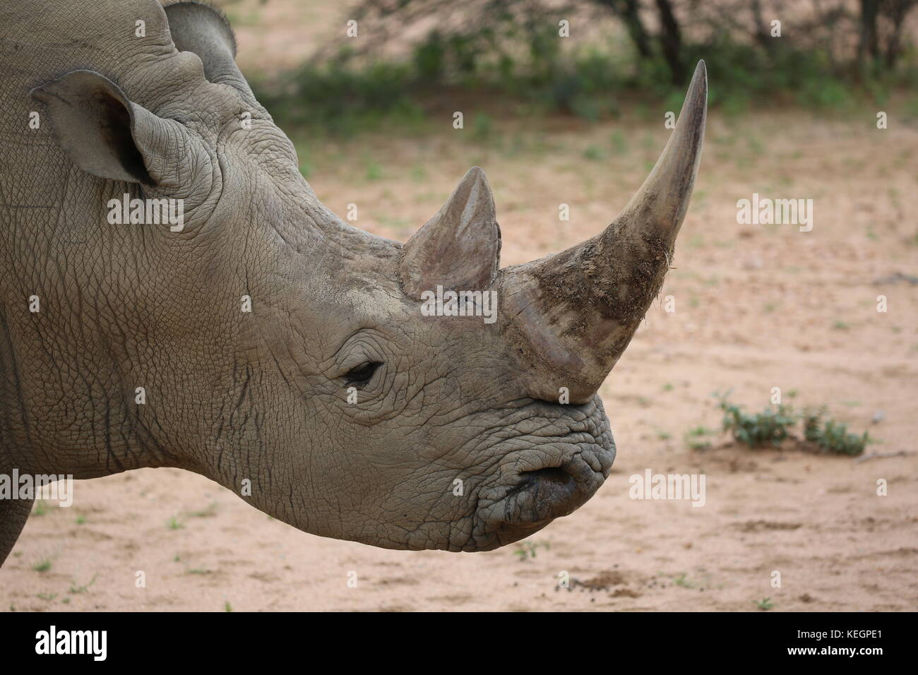 Breitmaulnashorn in Namibia - Stock Image