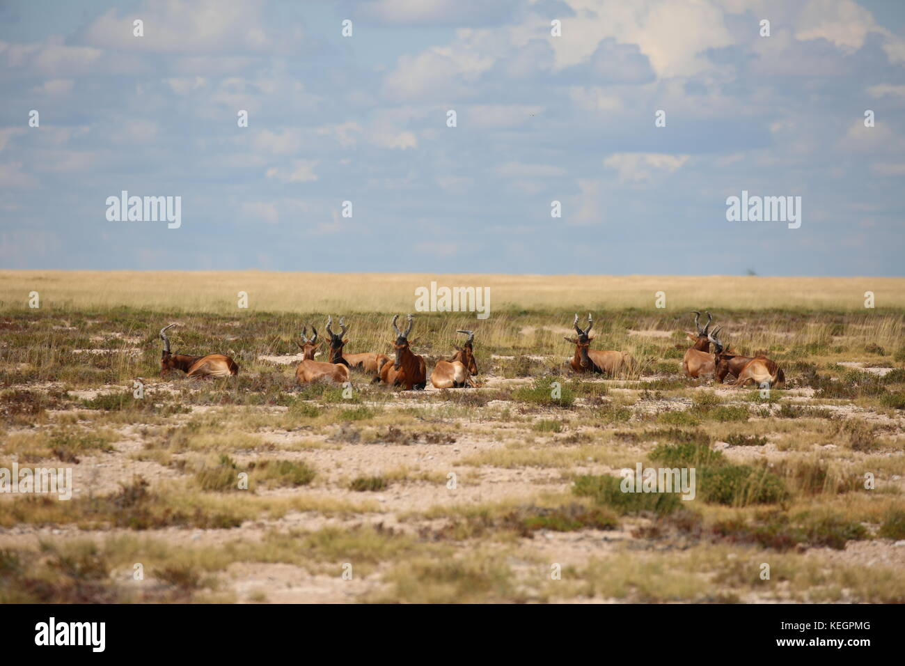 Springbock - Springbok etosha National Park Namibia - Stock Image