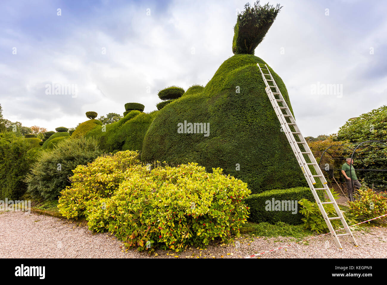 Maintenance in progress of a large topiary hedging.. - Stock Image