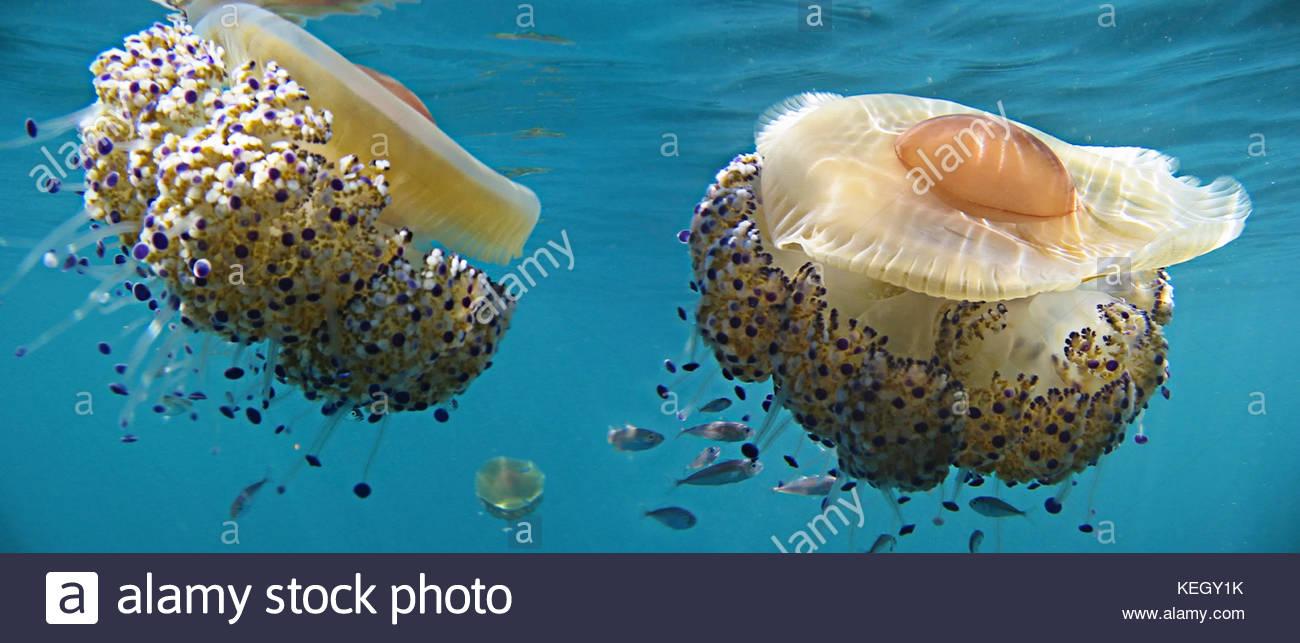 Young Mediterranean horse mackerel, Trachurus mediterraneus, around  Mediterranean fried egg jellyfish, Cotylorhiza Stock Photo