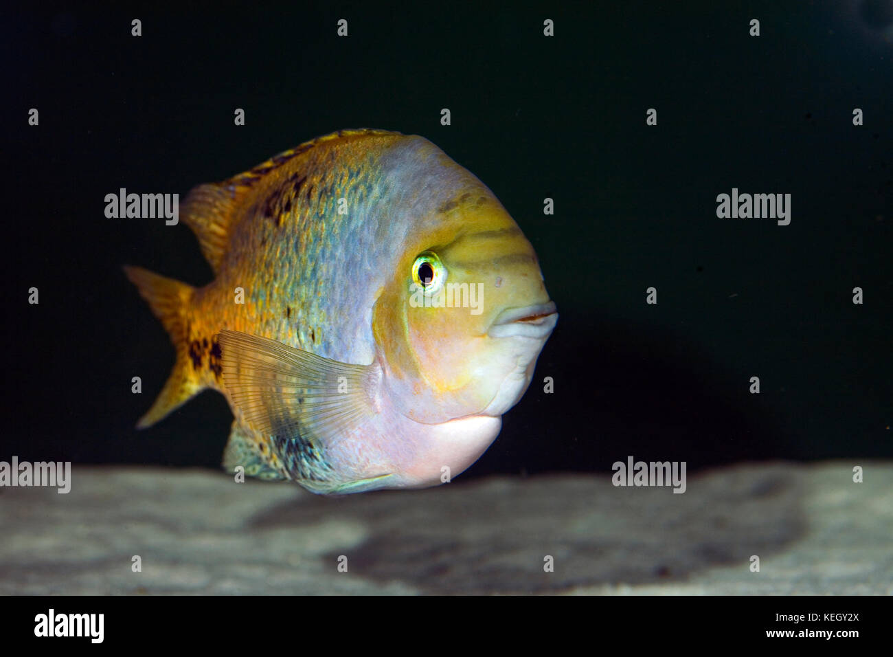 The Quetzal cichlid, Vieja melanura. Male on breeding coloration. Aquarium. Portugal - Stock Image