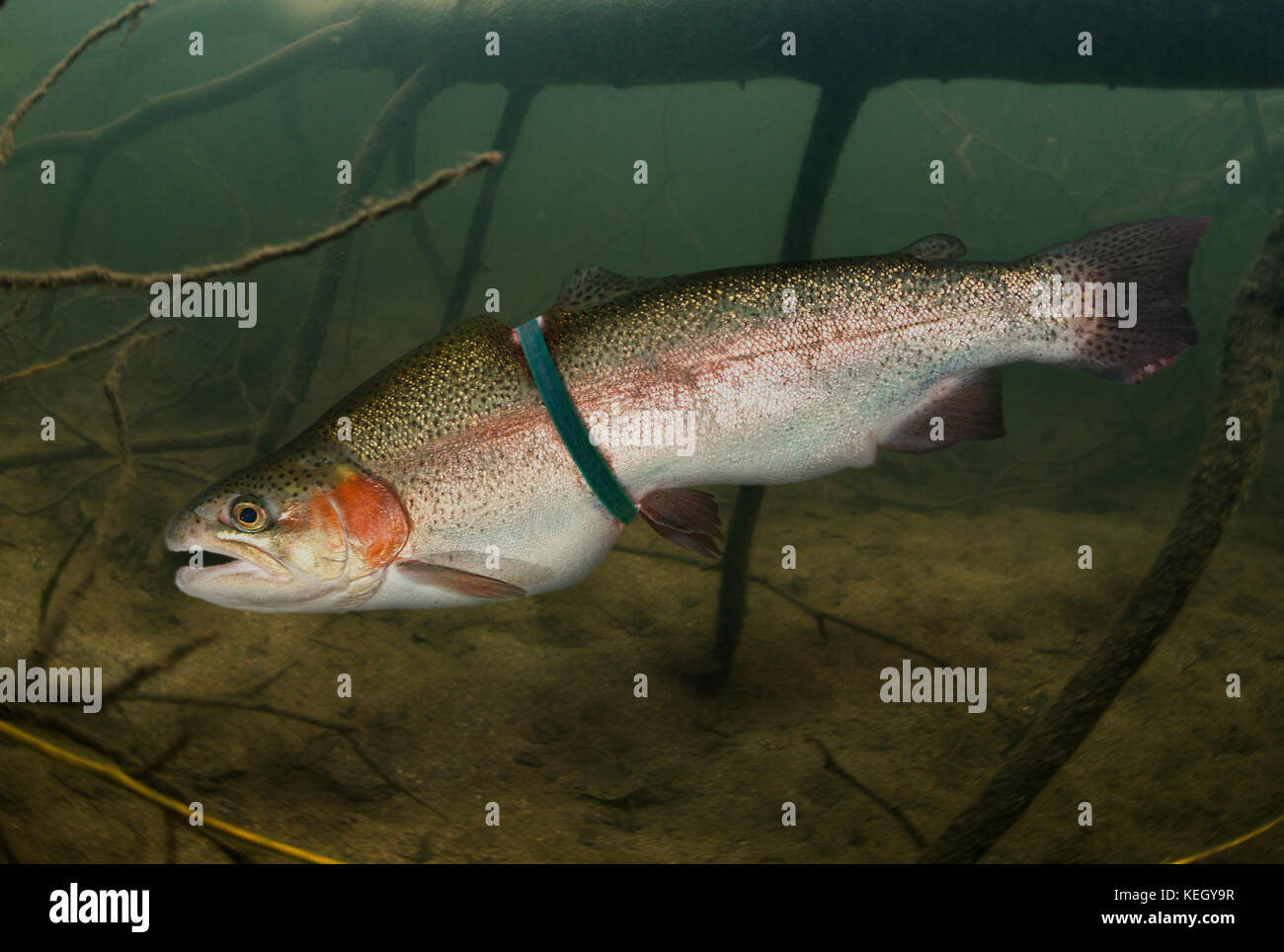 Rainbow trout, Oncorhynchus mykiss, entangled in a plastic ring from a pack. The growth of the fish has been strongly - Stock Image