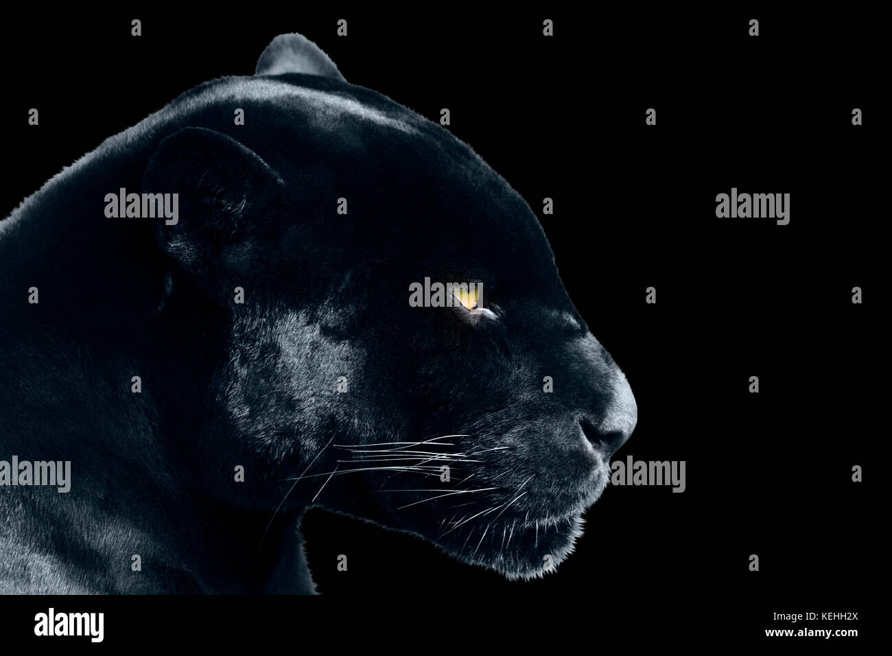 Black Jaguar Animal High Resolution Stock Photography And Images Alamy