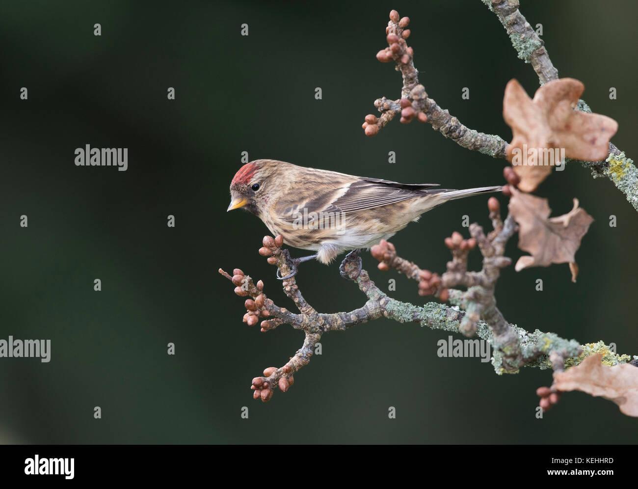 Redpoll feeding on seeds - Stock Image