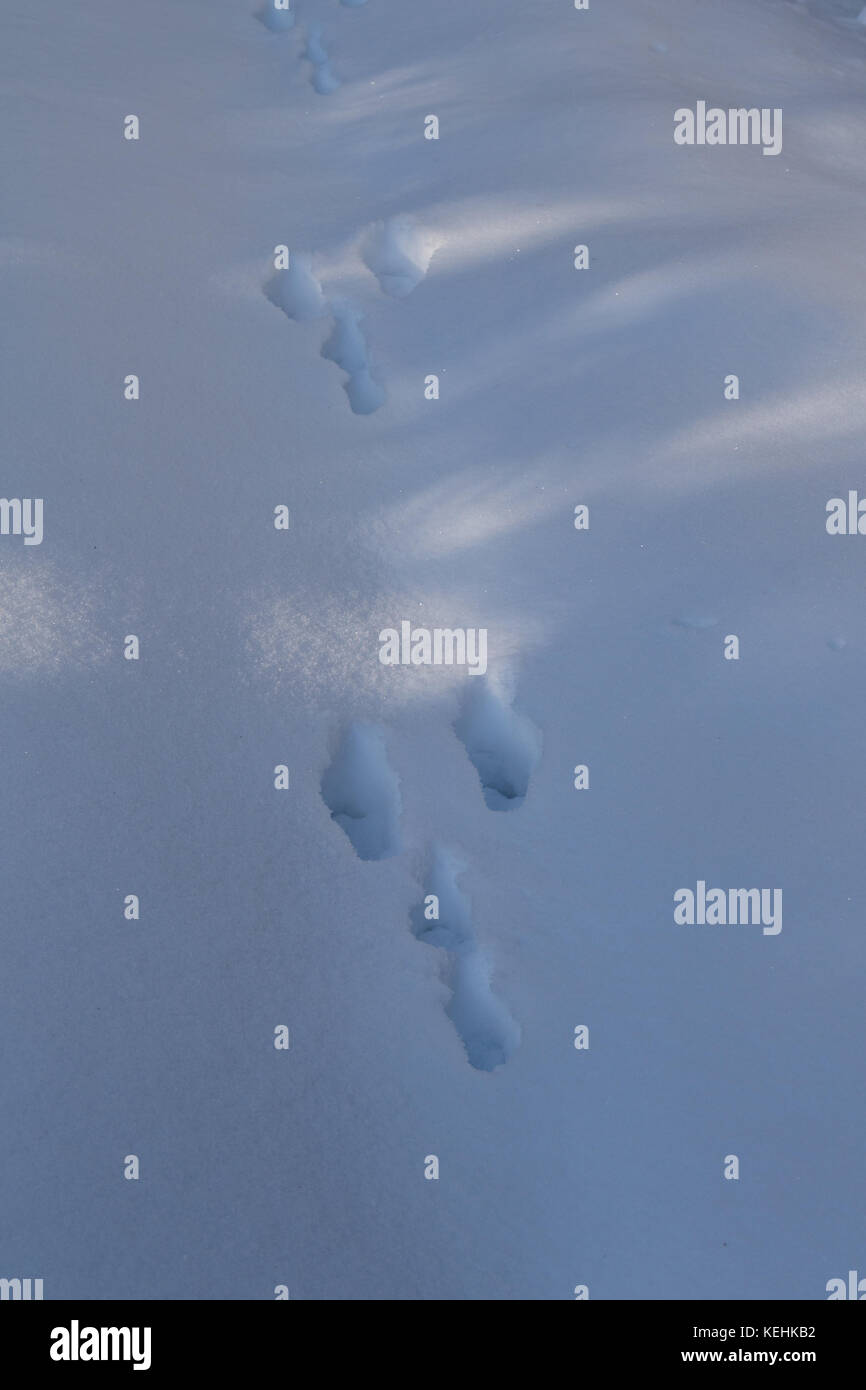 Traces from the Hare, Lepus timidus, in the snow - Stock Image