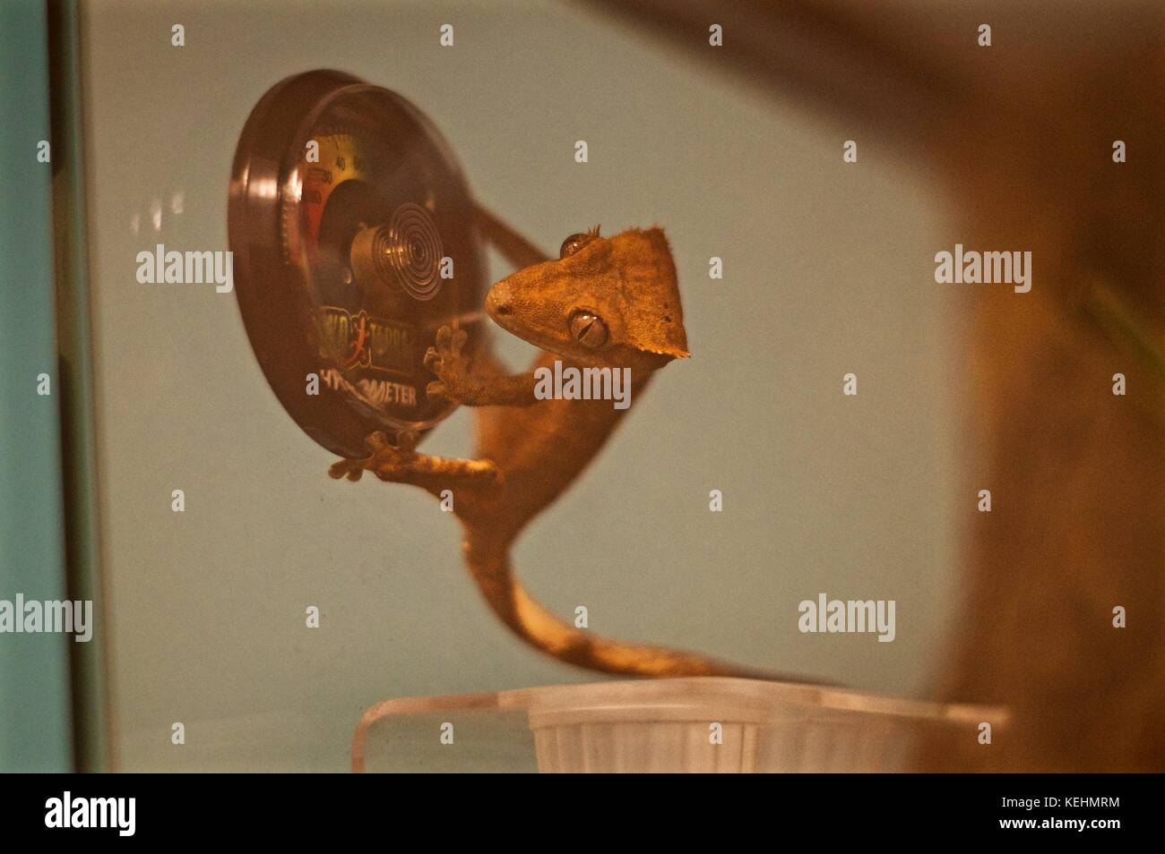 Juvenile Crested Gecko from New Caledonia hanging onto Exo Terra humidity gauge in vivarium - Stock Image