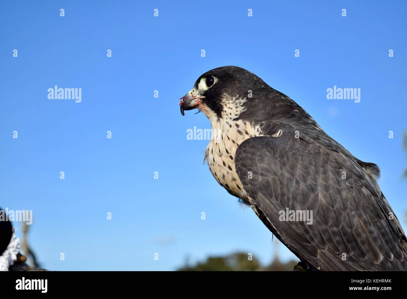 Peregrine Falconry Display at National Trust Montacute House Montacute Somerset Uk - Stock Image