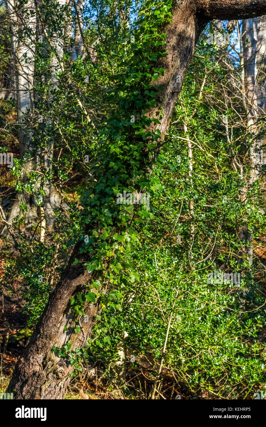Ivy growing up a tree in winter light. - Stock Image