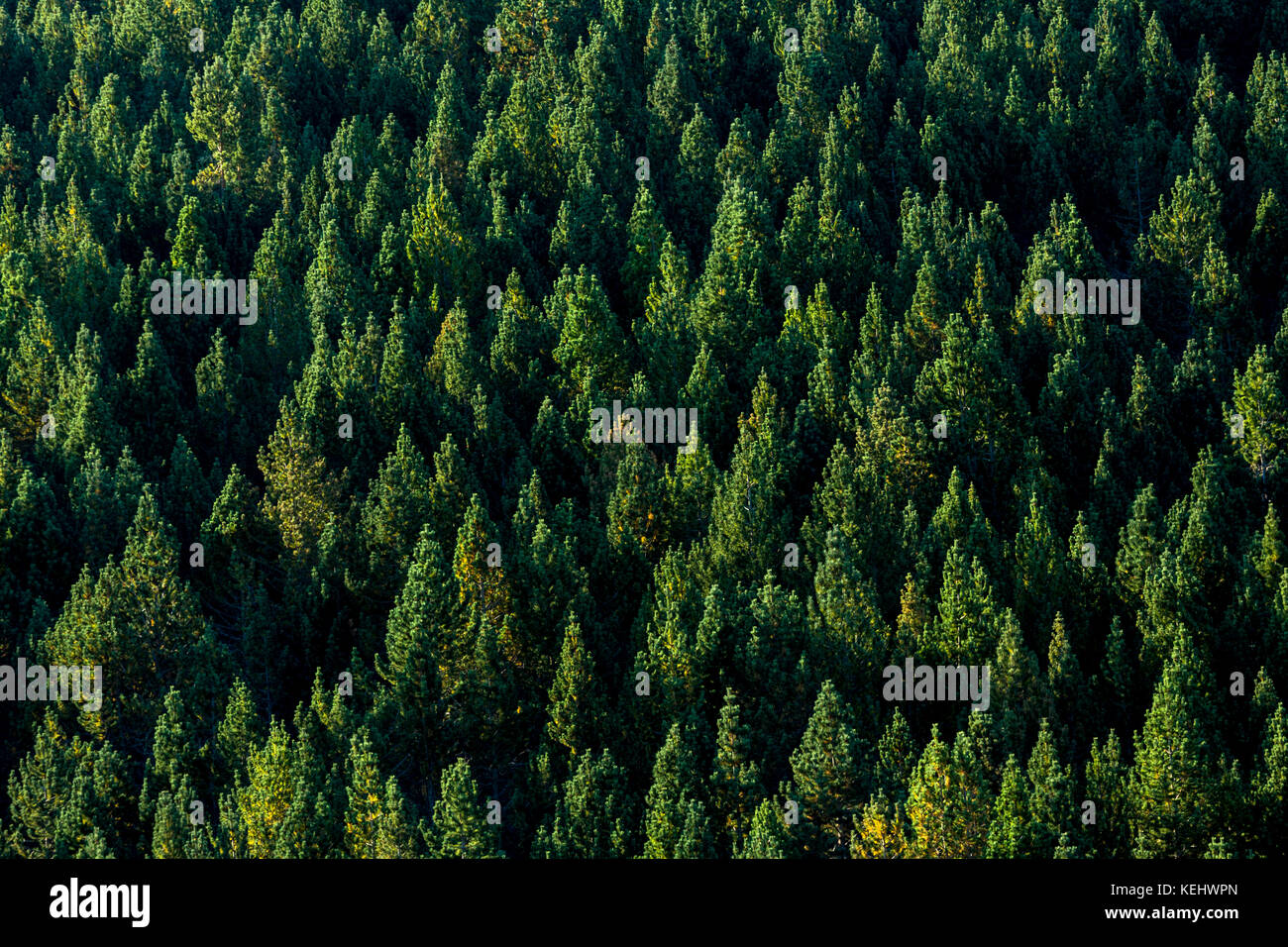 Evergreen coniferous forest in Picos de Europa mountains - Peaks of Europe - in Castilla y Leon, Northern Spain - Stock Image