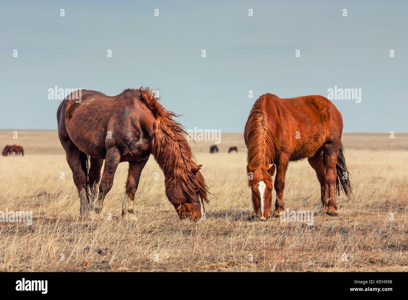 Wild horses in prairie - Stock Image