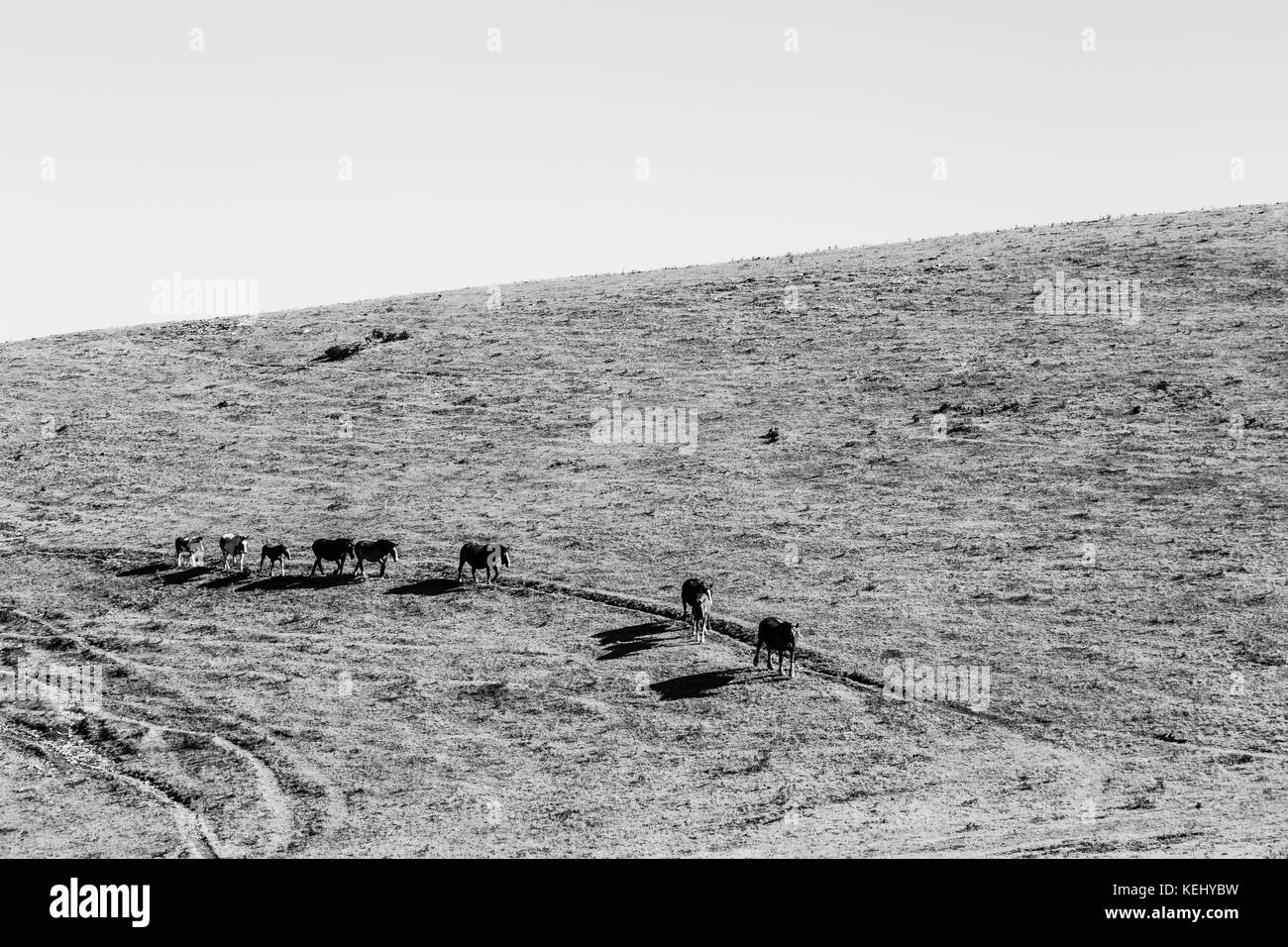 A line of horses walking on the side of a mountain in a dry, hot day, beneath a totally empty sky - Stock Image