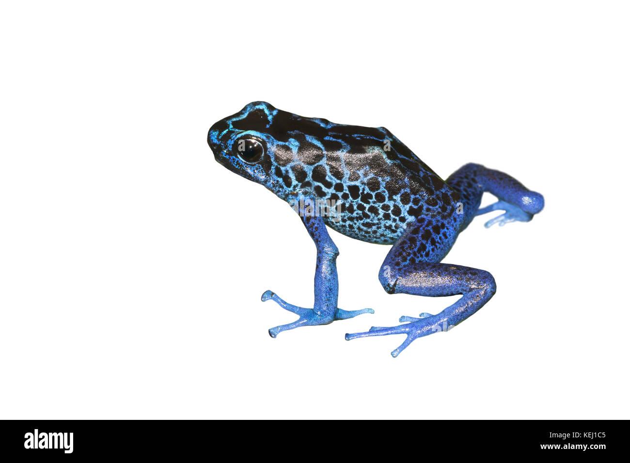 Dyeing poison dart frog (Dendrobates tinctorius), isolated on white background. Stock Photo