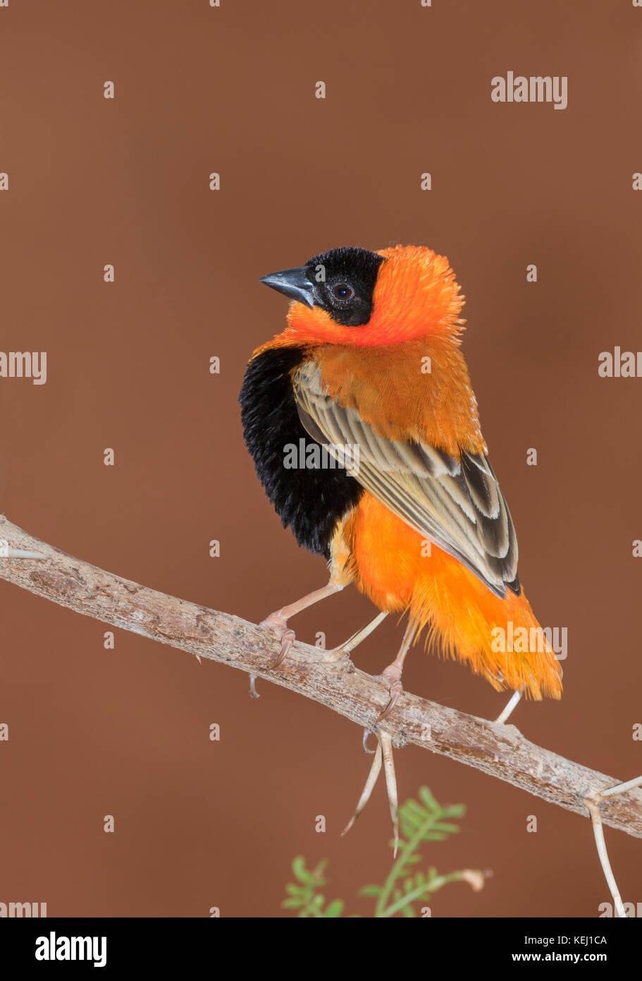 Male northern red bishop or orange bishop weaver (Euplectes franciscanus) displaying, captive (native to southern - Stock Image