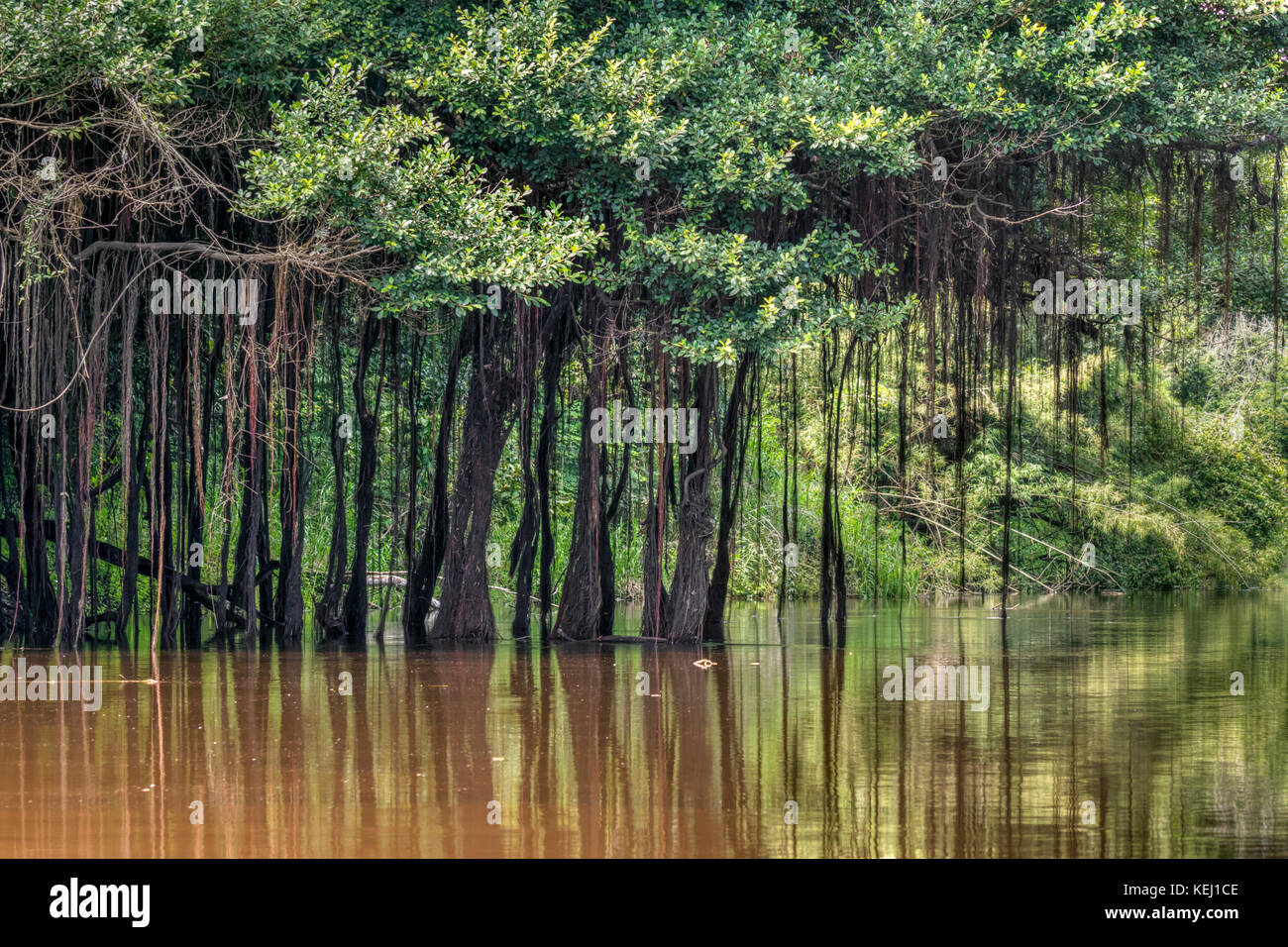 Amazon rainforest with aerial roots hanging from trees, Pacaya Samiria National Reserve, Yanayacu River, Peru - Stock Image