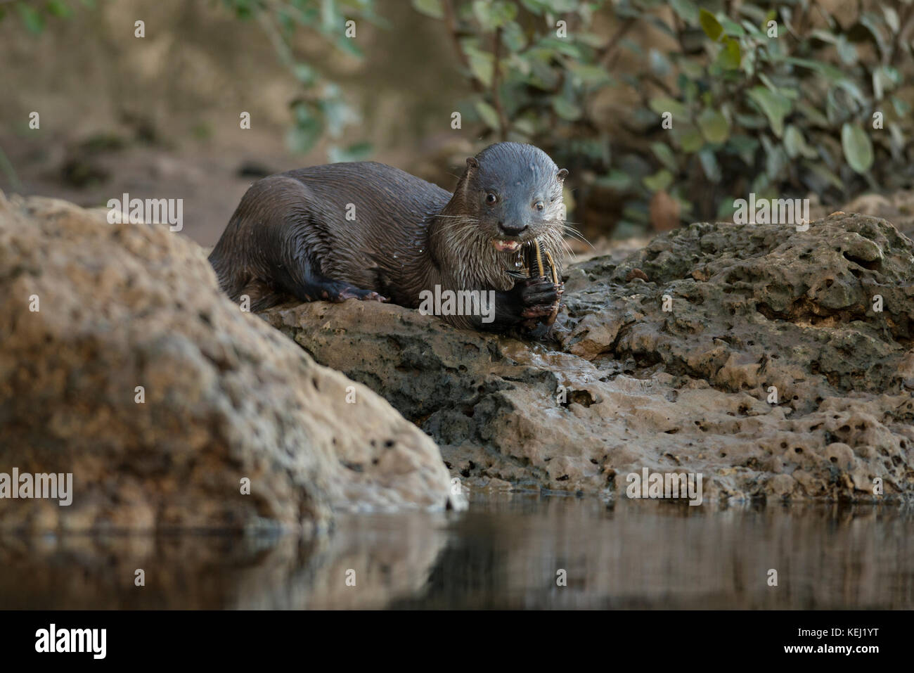 Neotropical River Otter eating a catfish in South Pantanal, Brazil Stock Photo