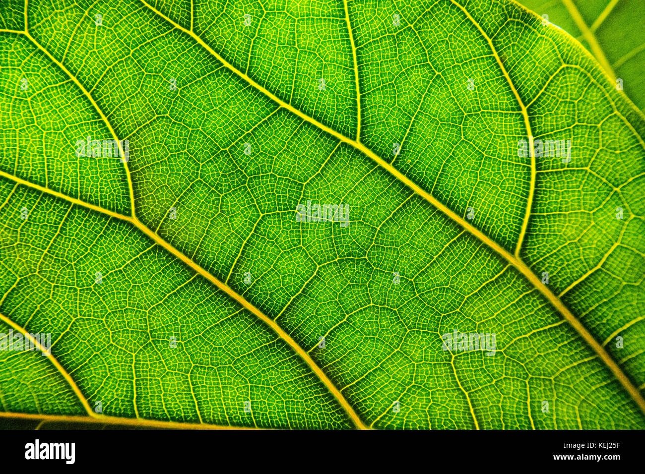 Green leaf in close-up, showing veins. - Stock Image