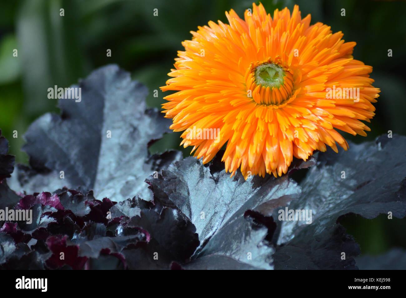 Mum Flower In The Garden Stock Photo Alamy