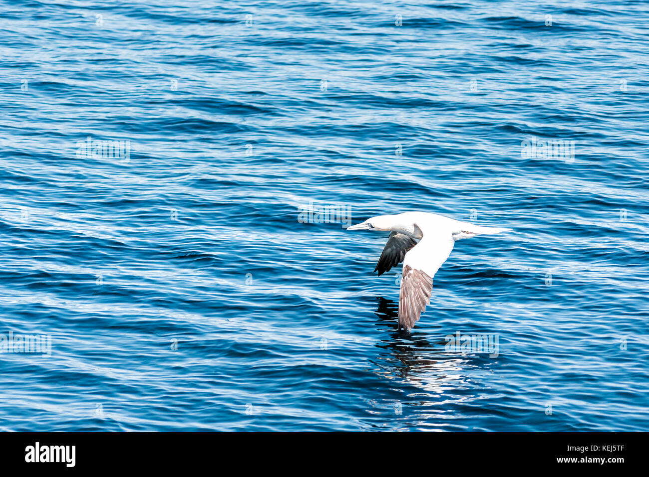One white gannet morus bird flying above water surface of ocean with reflection - Stock Image