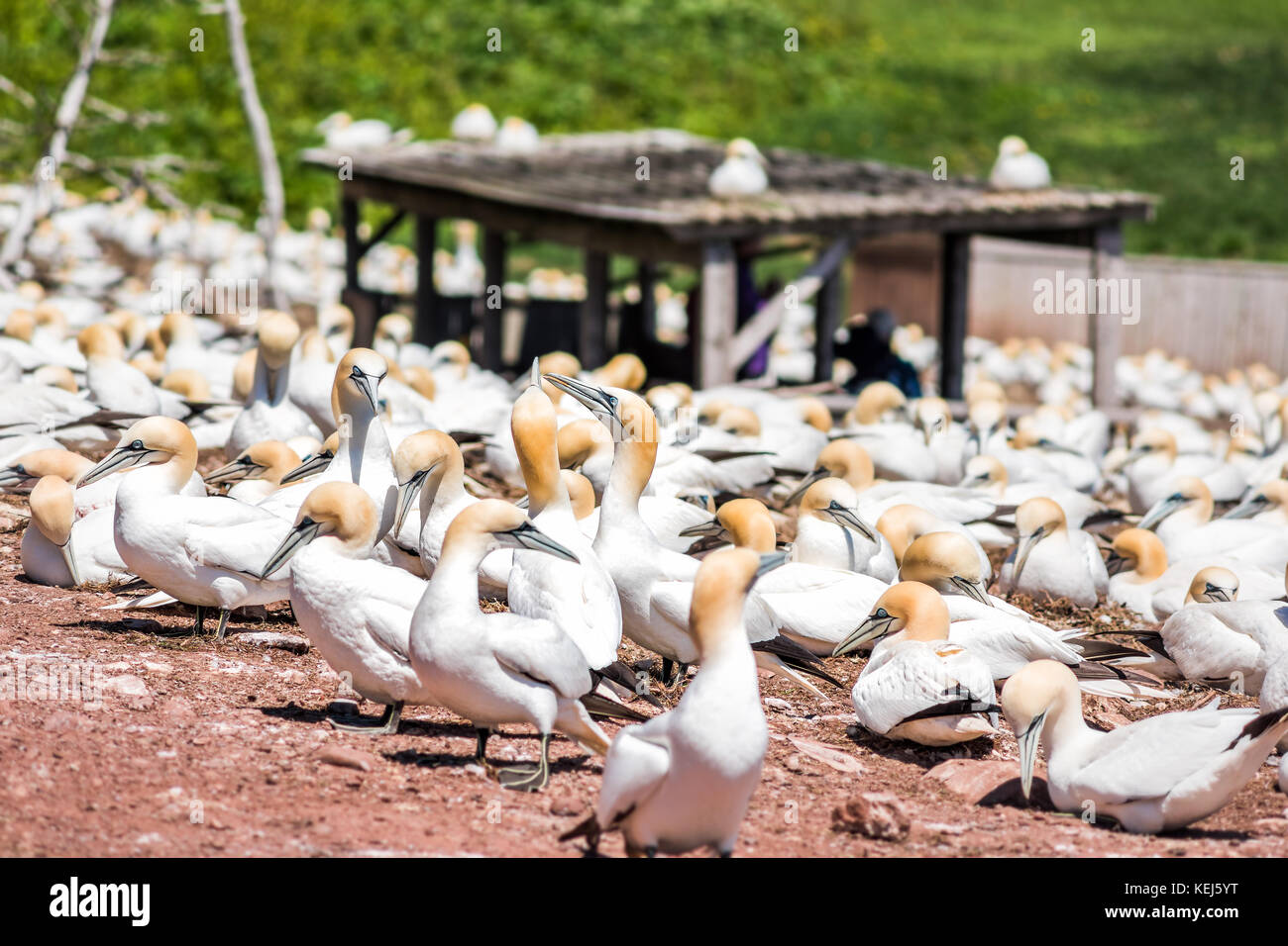 Closeup of white Gannet birds colony nesting on cliff on Bonaventure Island in Perce, Quebec, Canada by Gaspesie, Stock Photo