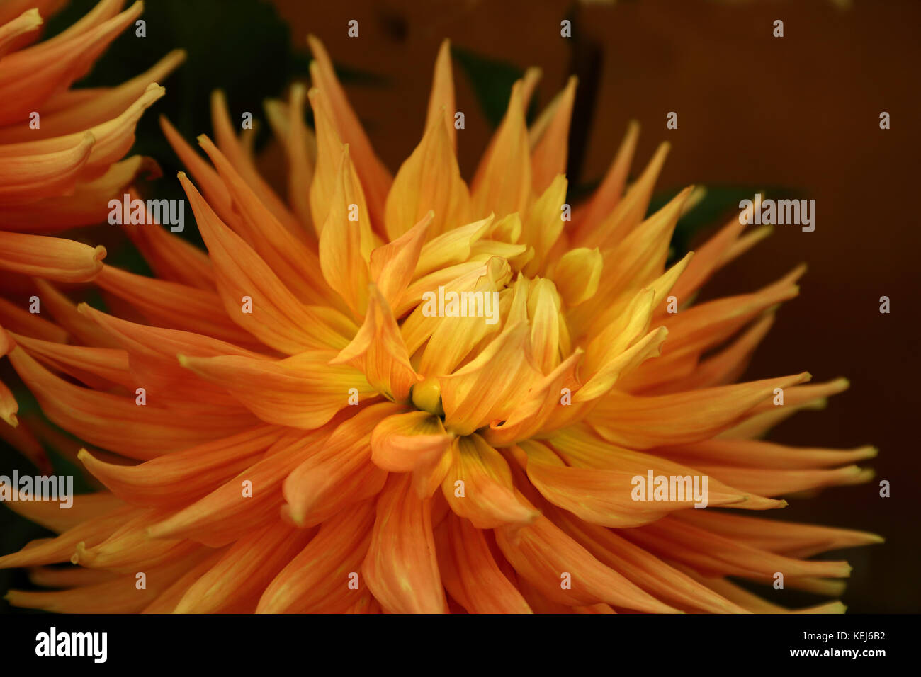Dahlias come in a wide variety of colors, shapes and sizes, but they are always spectacular - Stock Image