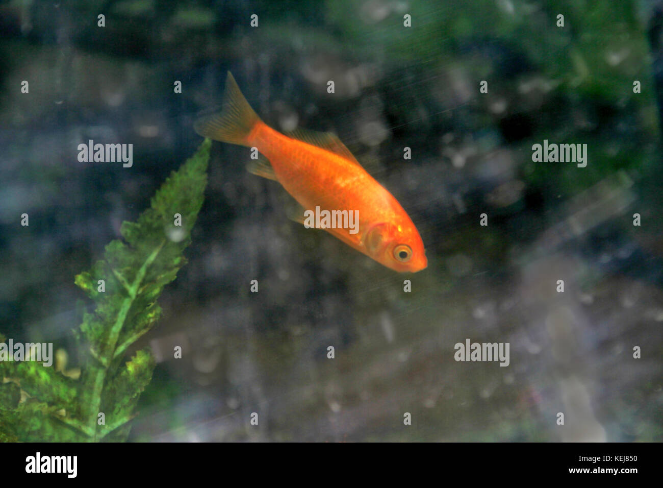 Agile, pink fish swiftly moving up and down in aquarium - Stock Image