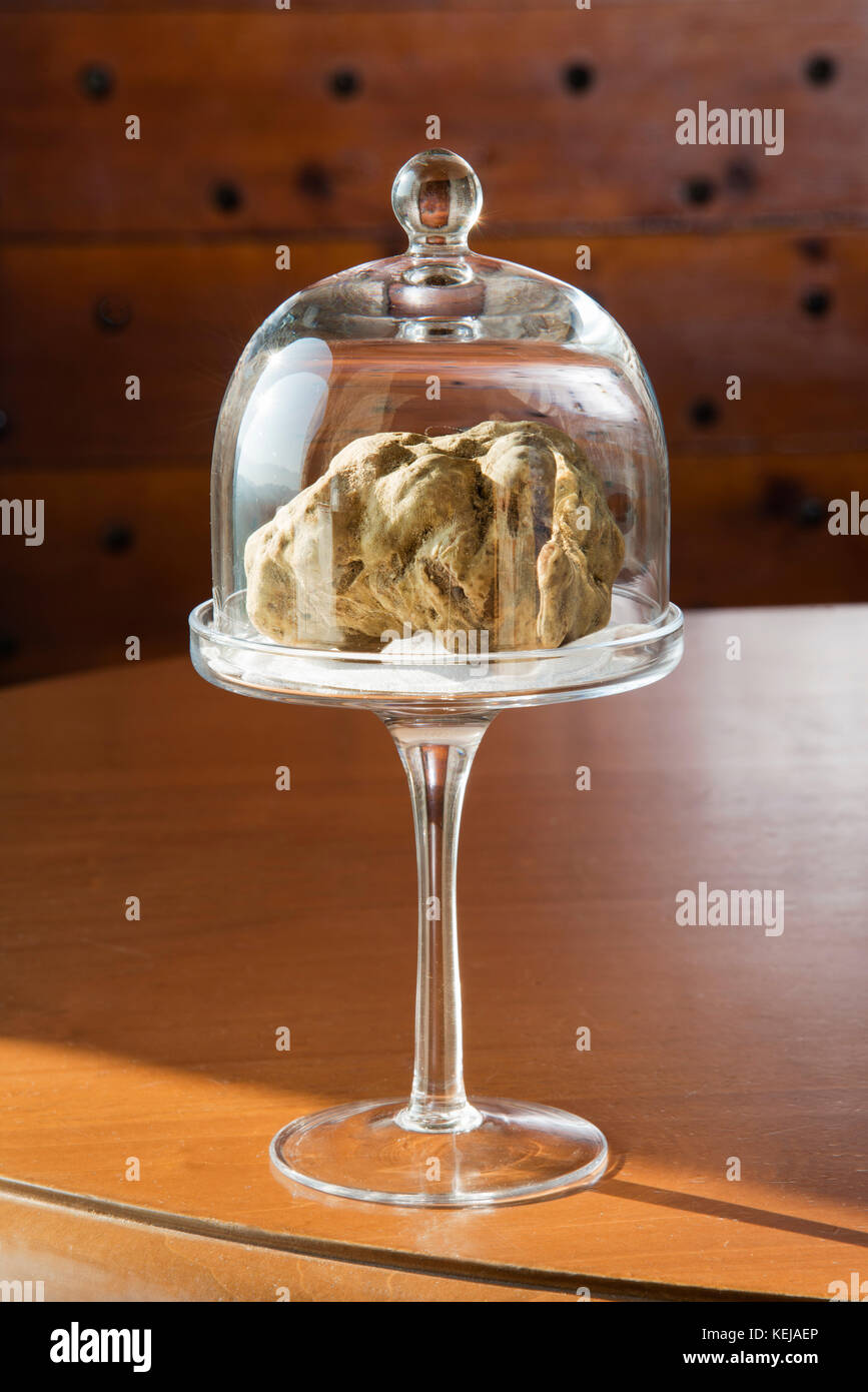 Wonderful white truffle in glass bell with pedestal, on wooden table, from Langhe Alba in Piedmont Italy. - Stock Image