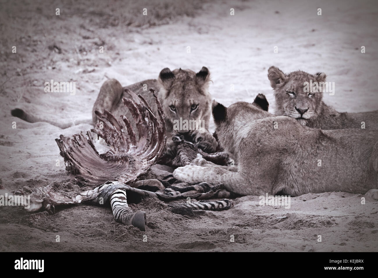 Pack of South African lions eating at a killed zebra in the Kruger National Park, South Africa - Stock Image